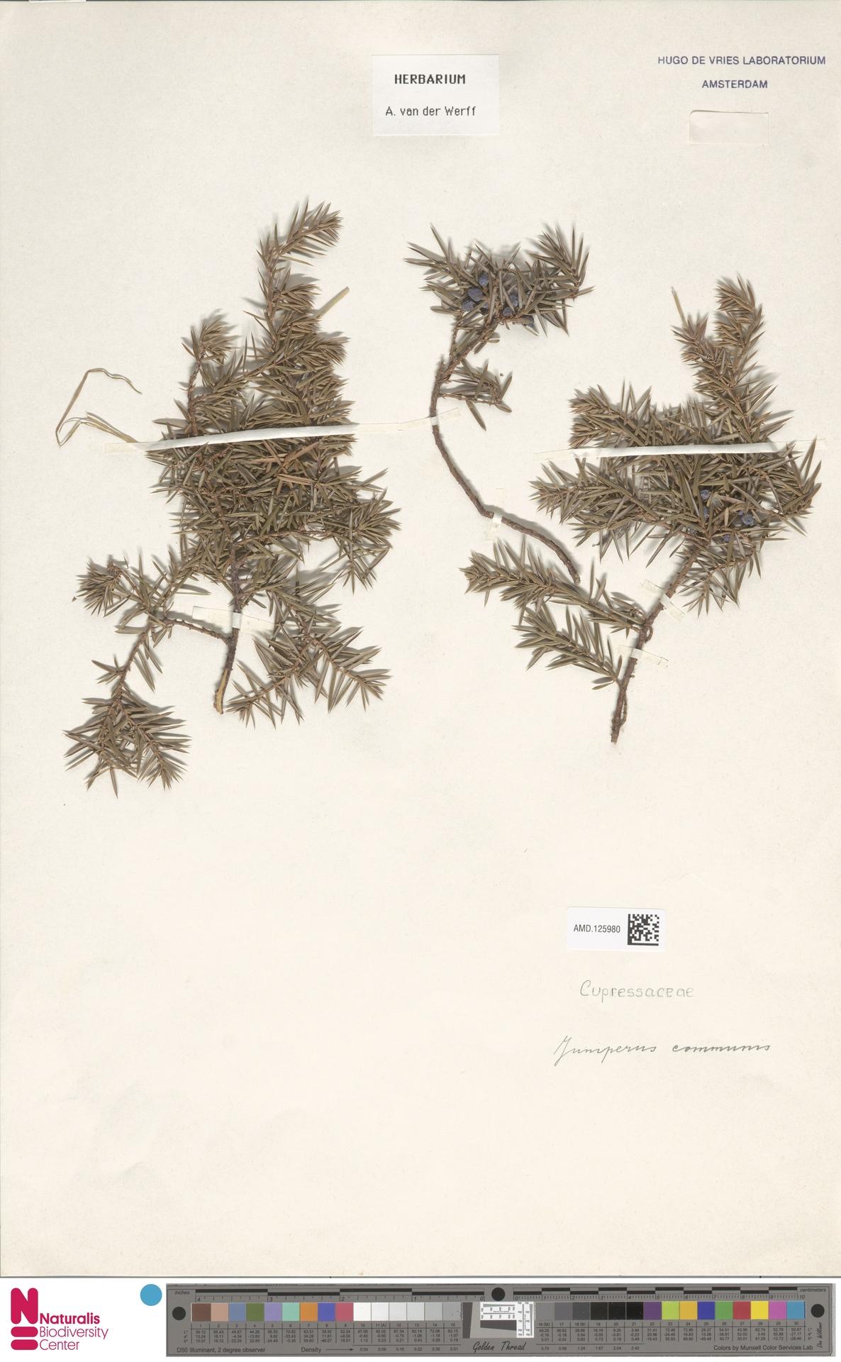 AMD.125980 | Juniperus communis L.