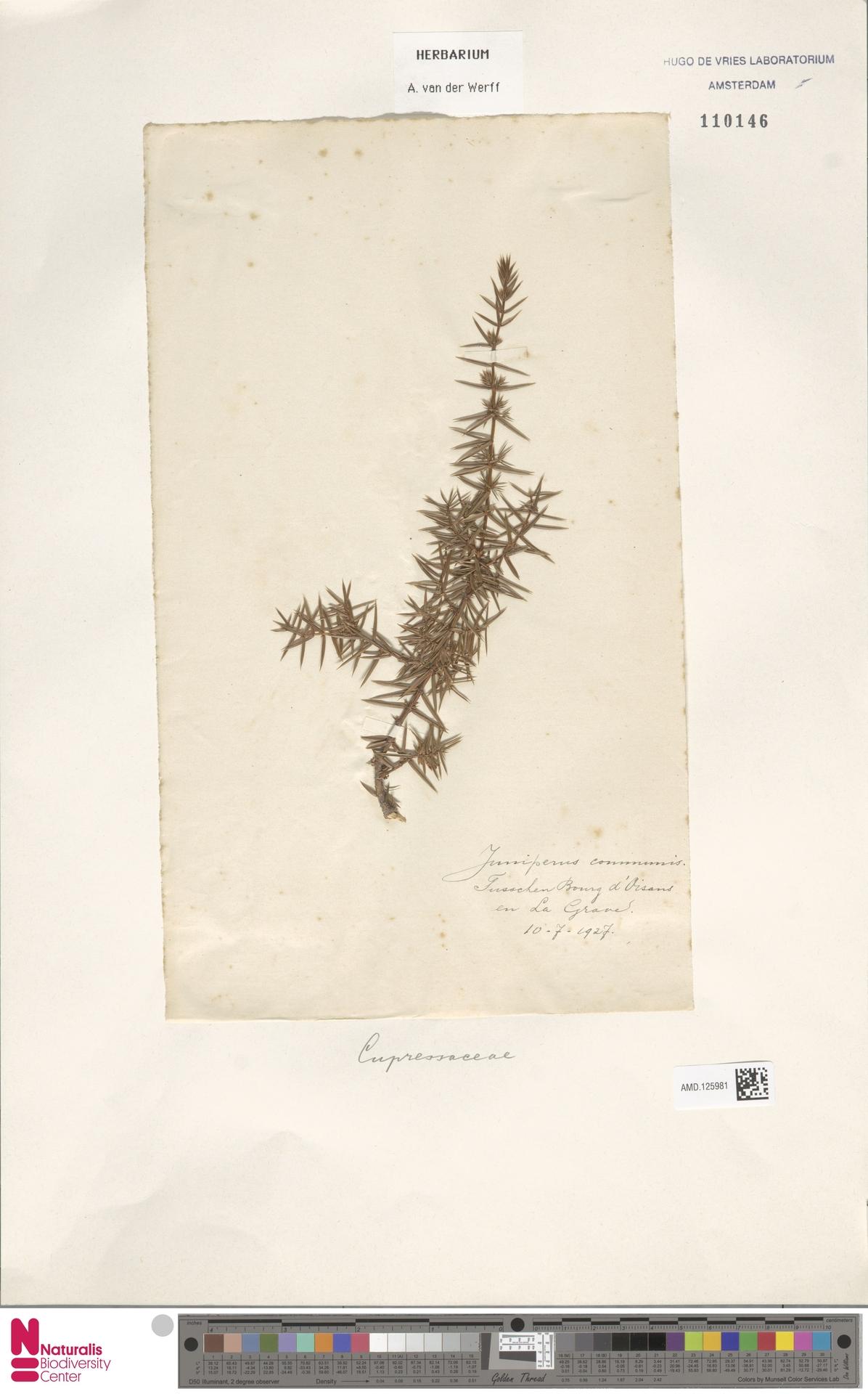 AMD.125981 | Juniperus communis L.