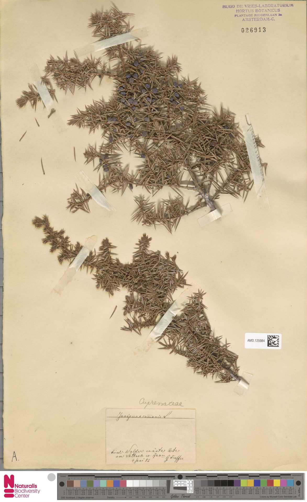 AMD.125984 | Juniperus communis L.