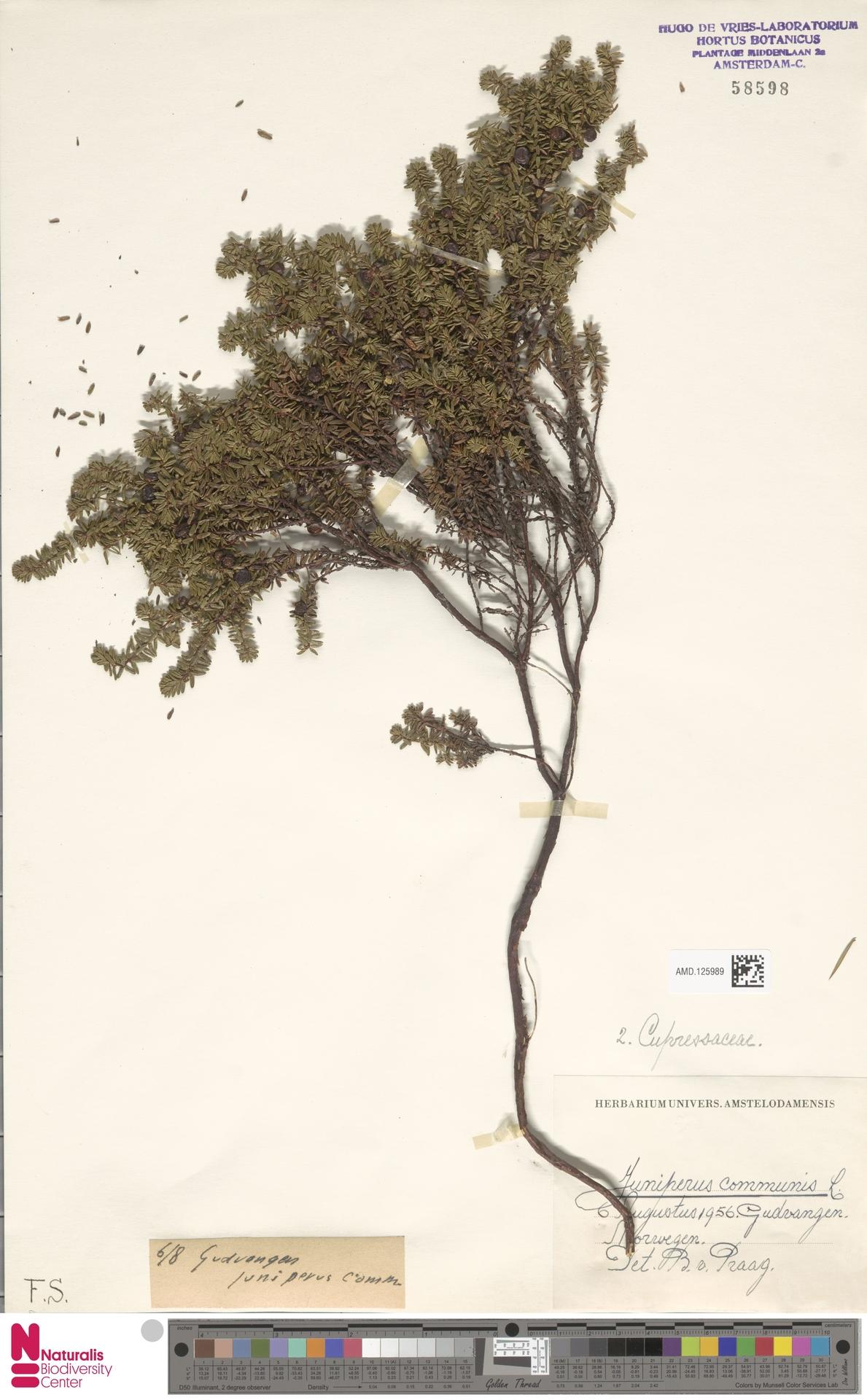 AMD.125989 | Juniperus communis L.