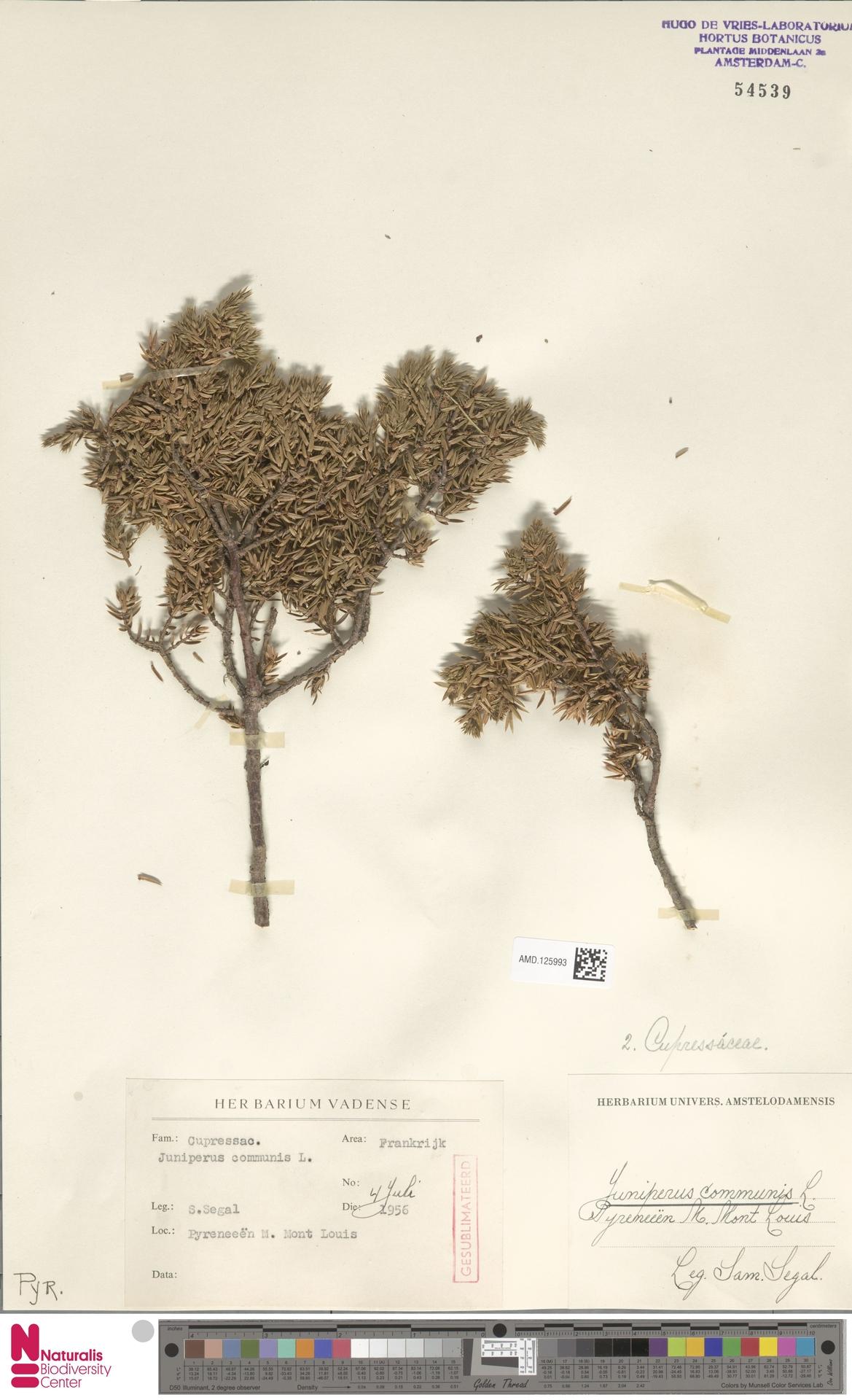 AMD.125993 | Juniperus communis L.