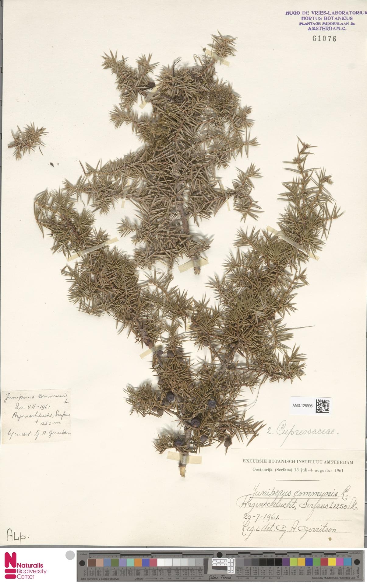 AMD.125995 | Juniperus communis L.