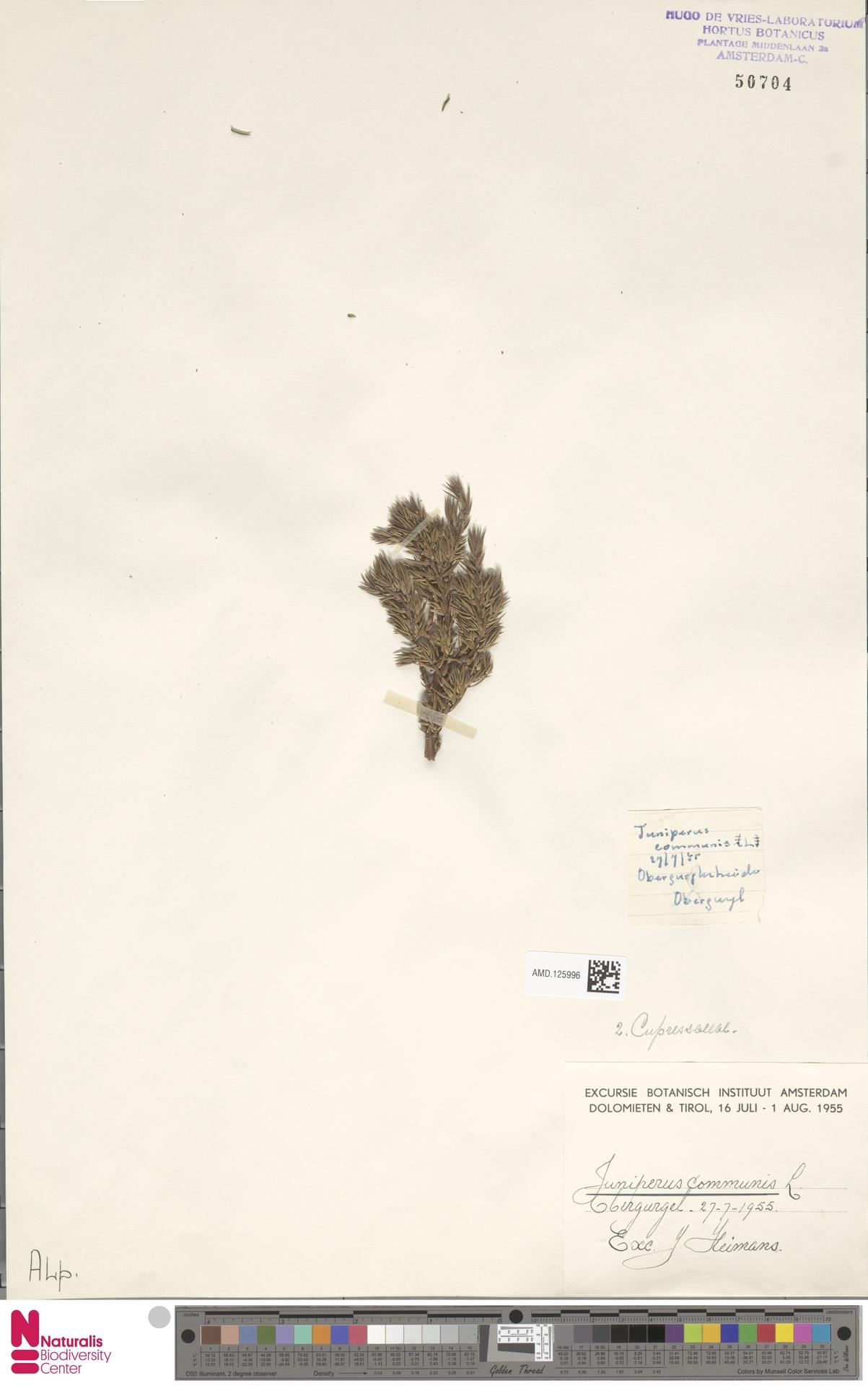 AMD.125996 | Juniperus communis L.