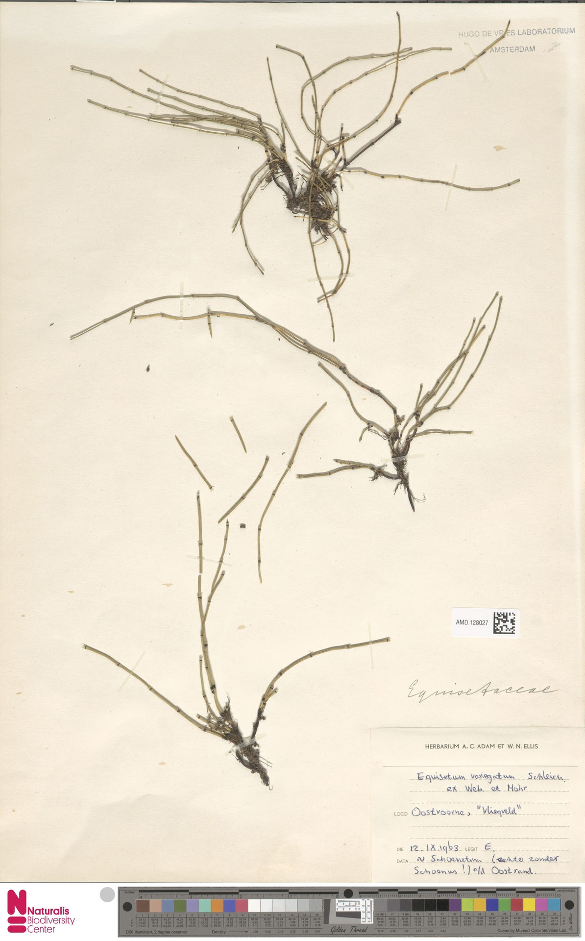 AMD.128027 | Equisetum variegatum Schleich. ex F.Weber & D.Mohr