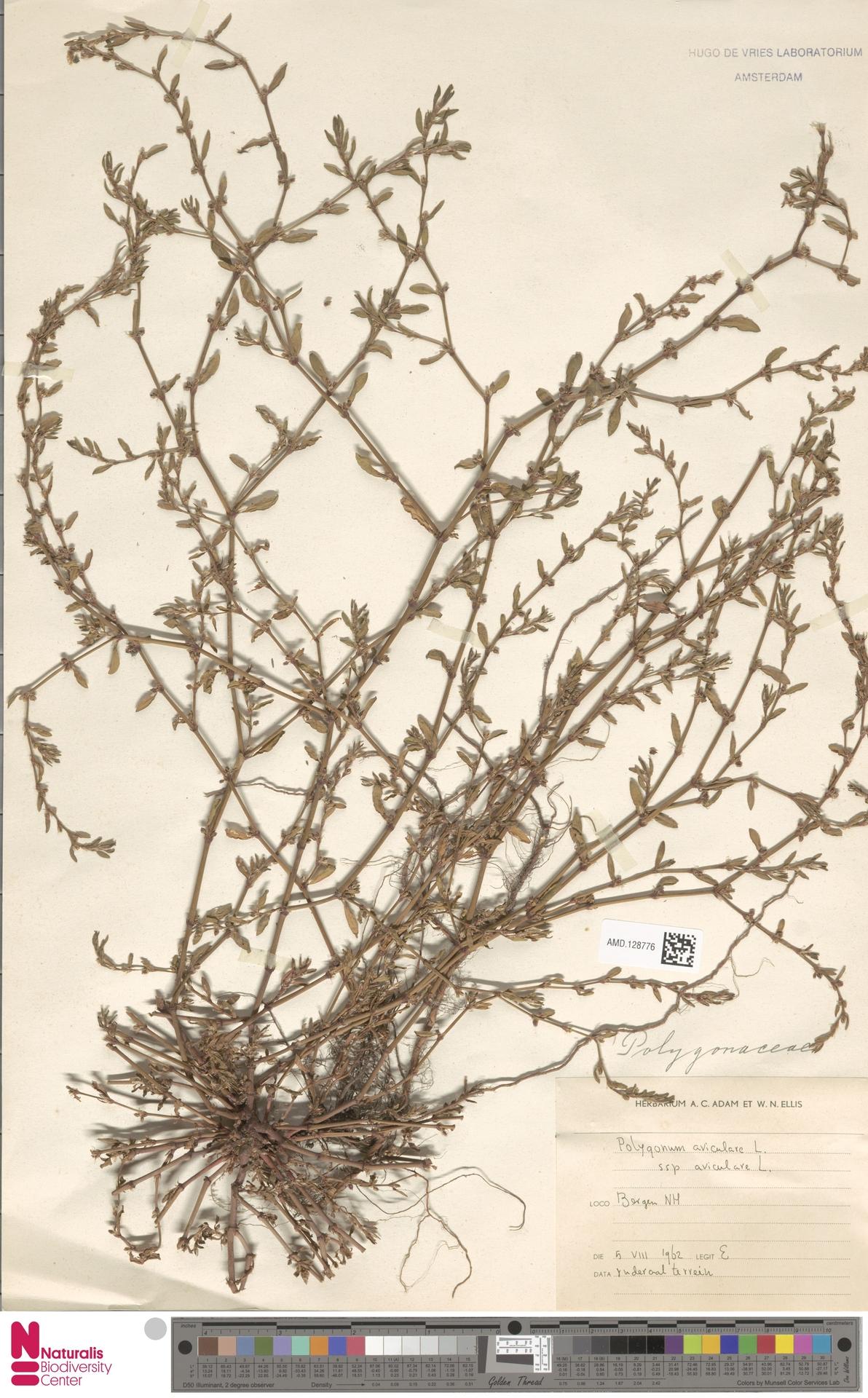 AMD.128776 | Polygonum aviculare subsp. aviculare