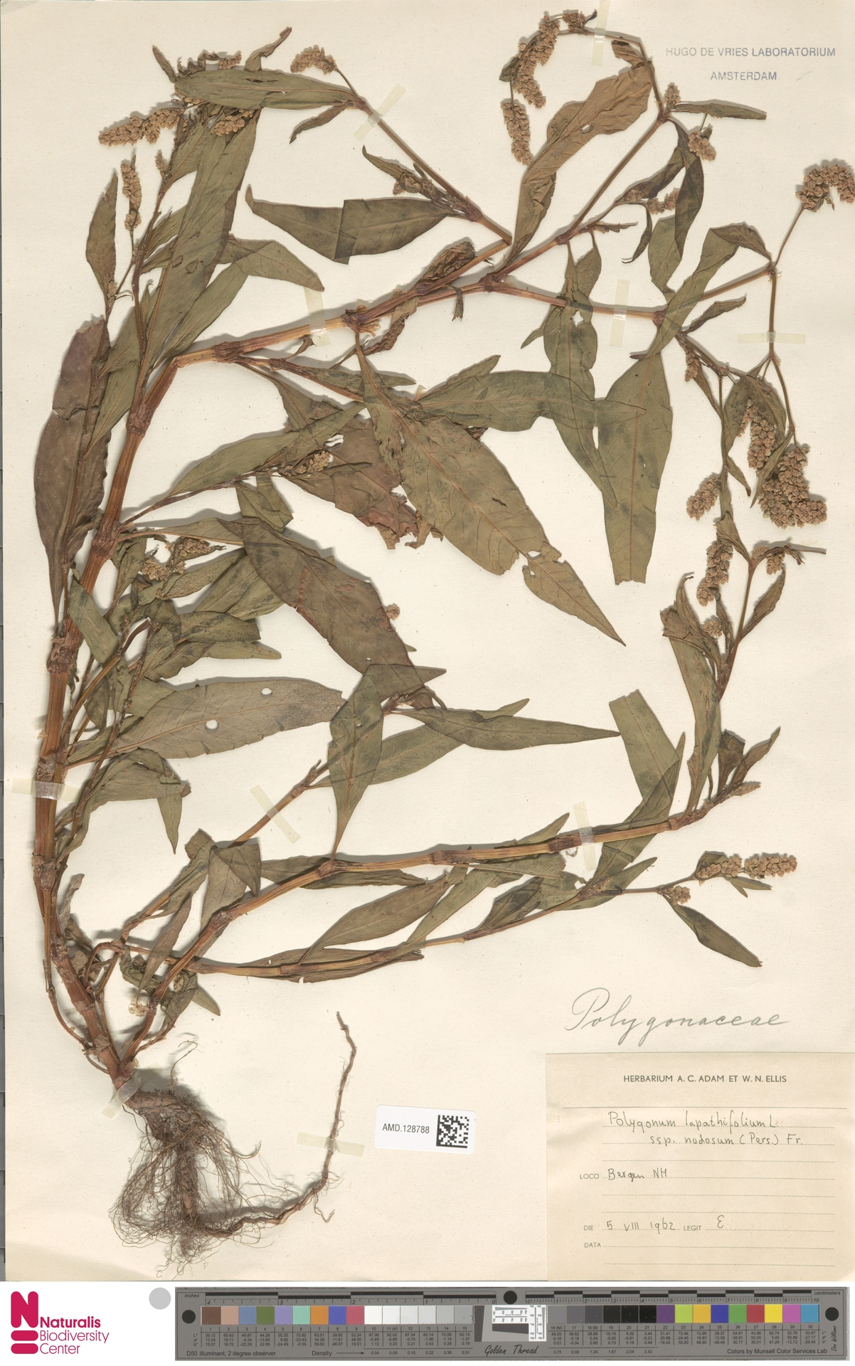 AMD.128788 | Polygonum lapathifolium subsp. nodosum (Pers.) Weinm.
