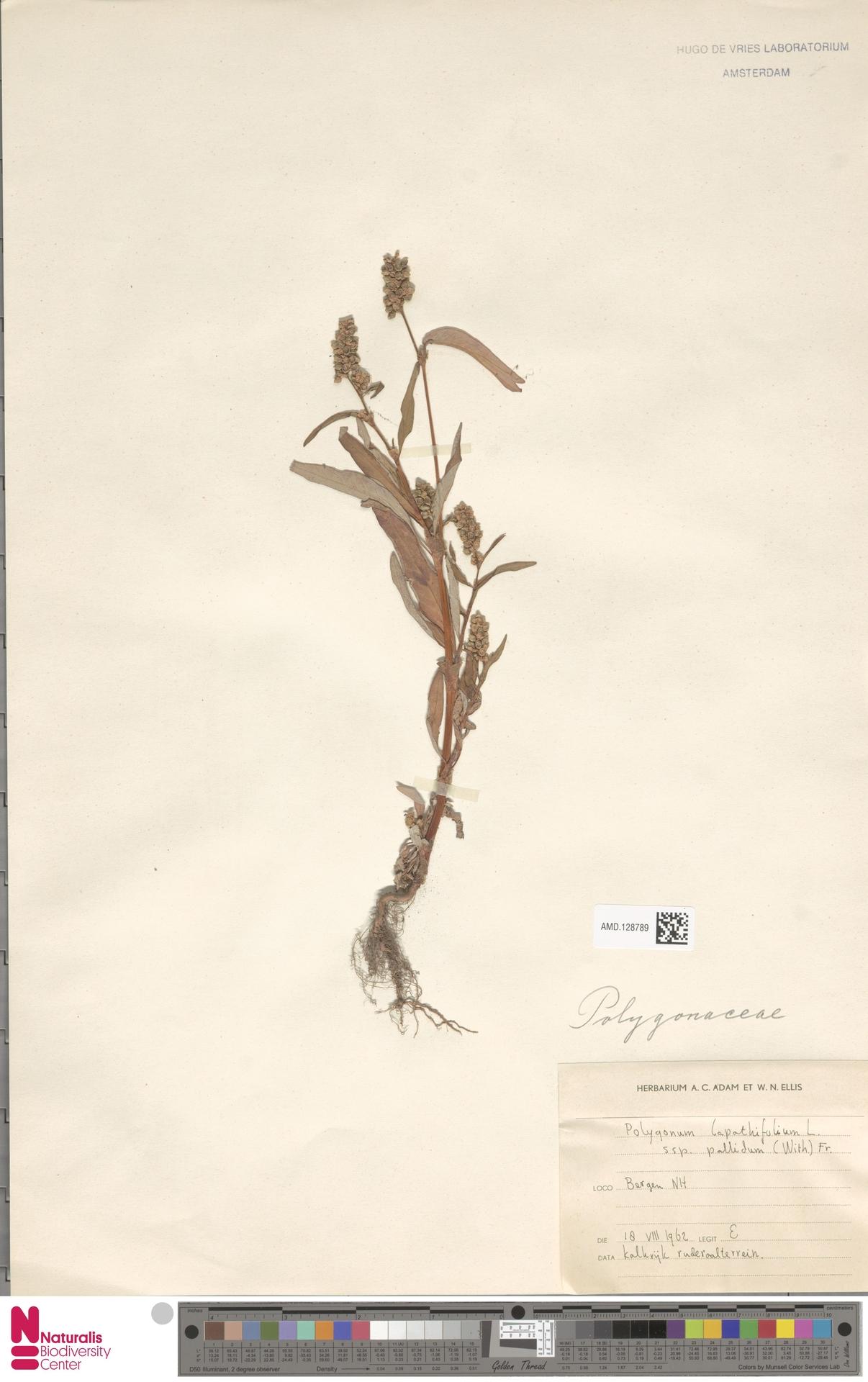 AMD.128789   Polygonum lapathifolium subsp. pallidum (With.) Fr.