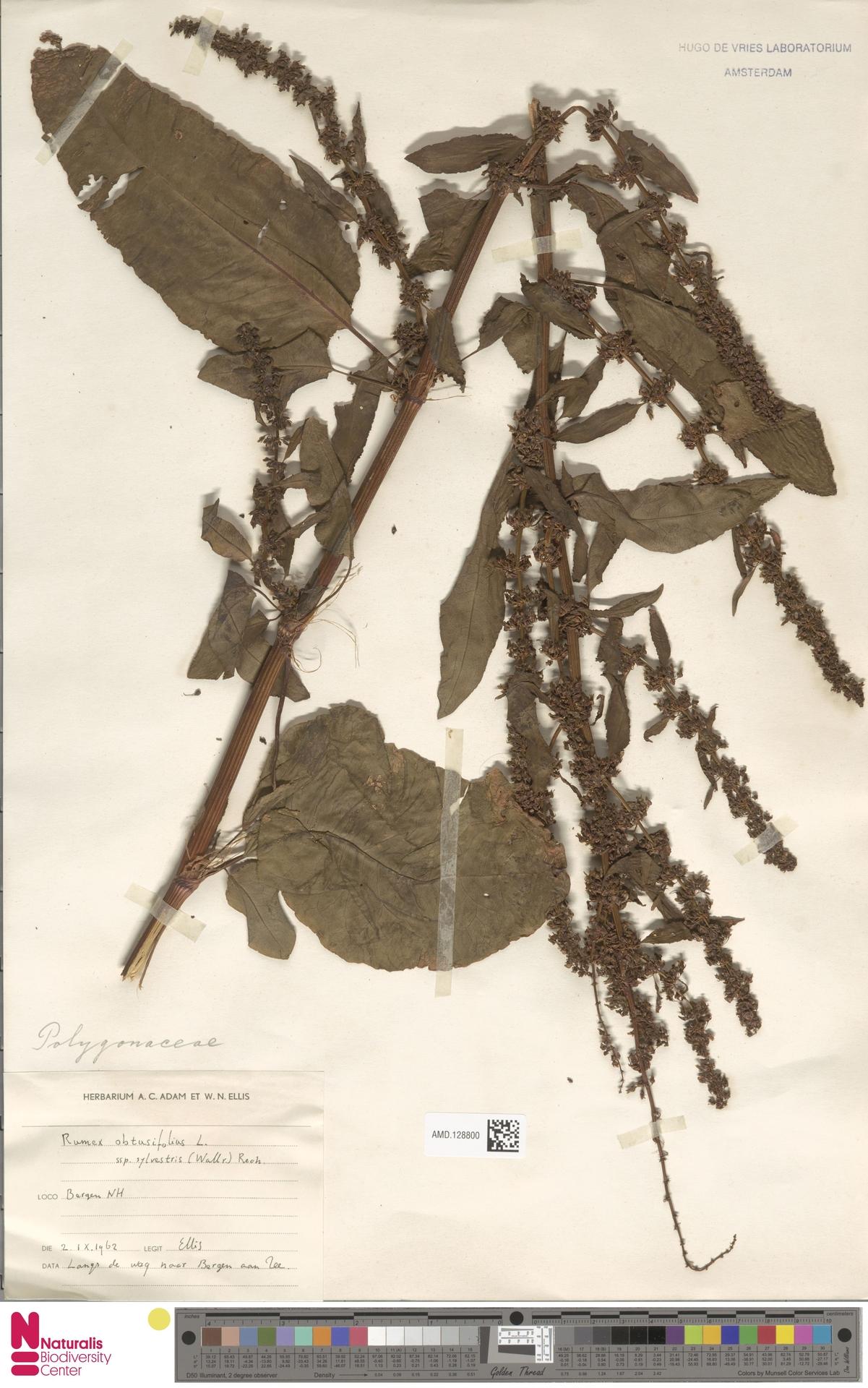 AMD.128800 | Rumex obtusifolius subsp. sylvestris (Wallr.) Rech.