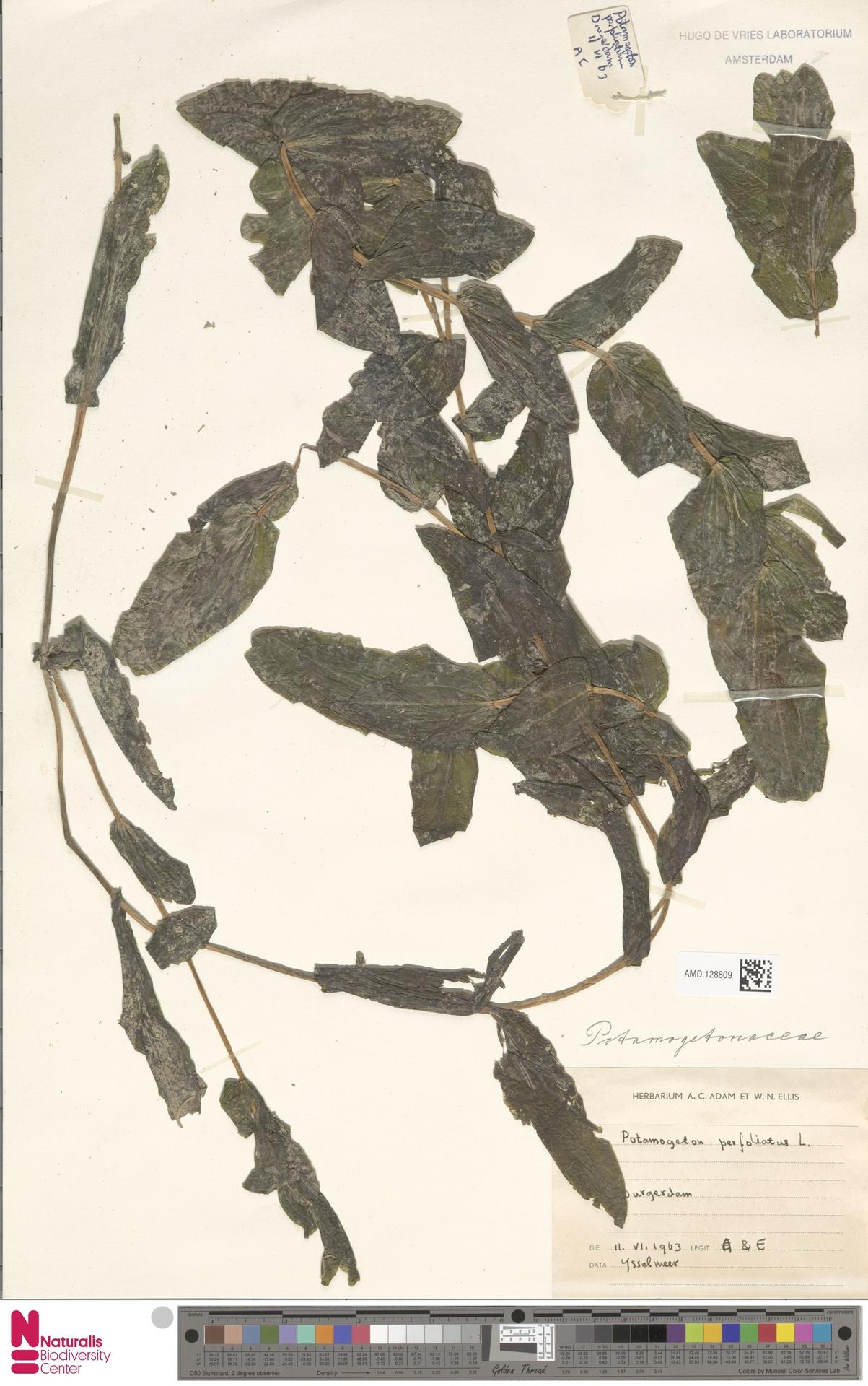 AMD.128809 | Potamogeton perfoliatus L.