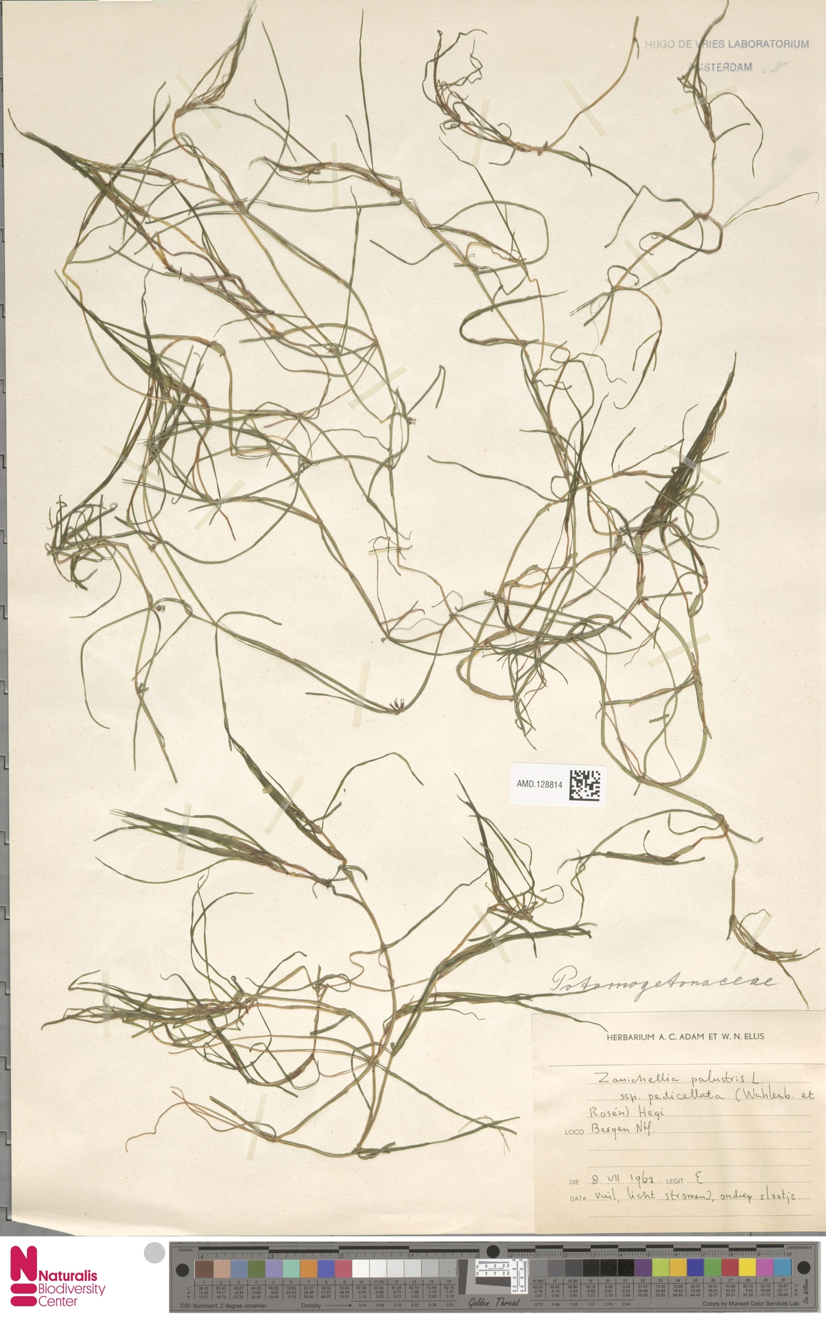 AMD.128814 | Zannichellia palustris subsp. pedicellata (Wahlenb. & Rosén) Hook.f.