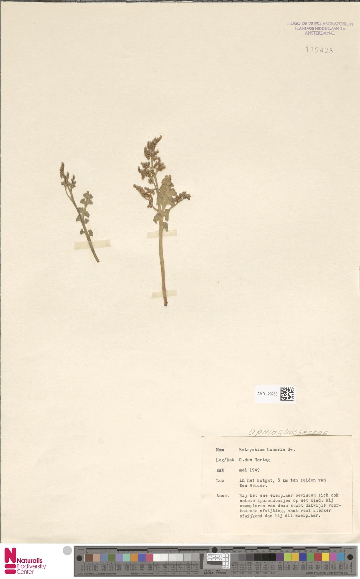AMD.129263 | Botrychium lunaria (L.) Sw.