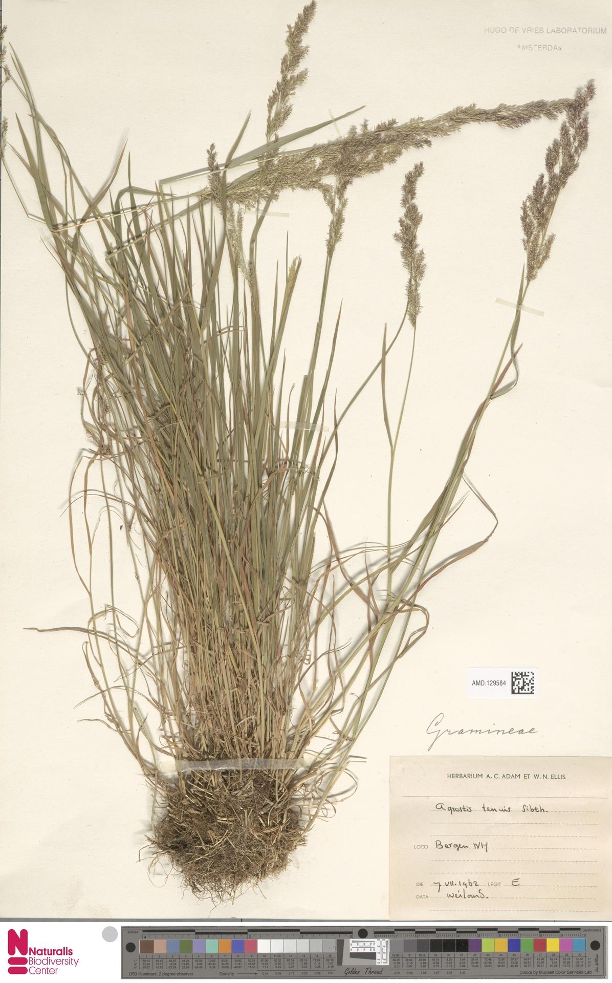 AMD.129584 | Agrostis tenuis Sibth.