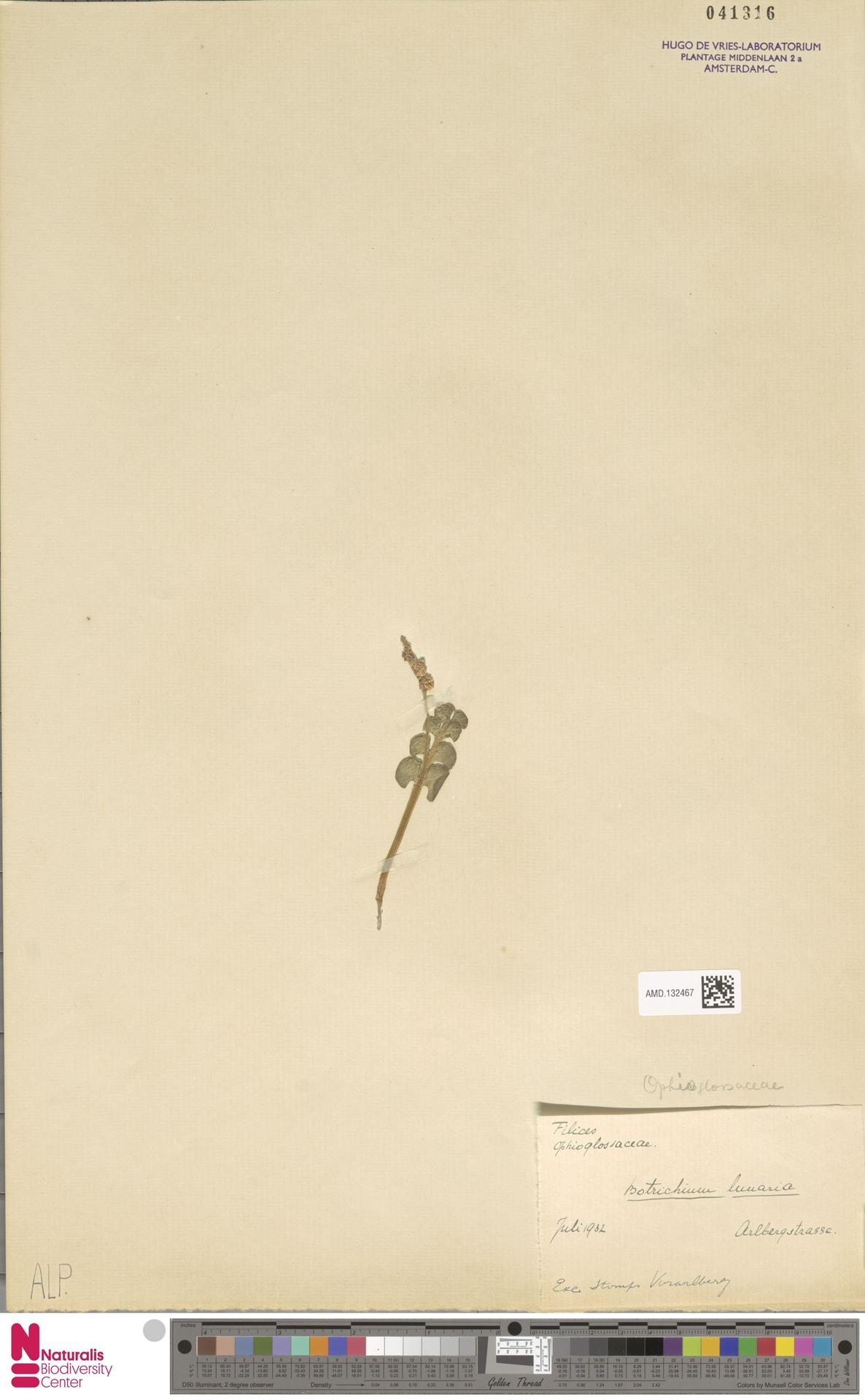 AMD.132467 | Botrychium lunaria (L.) Sw.