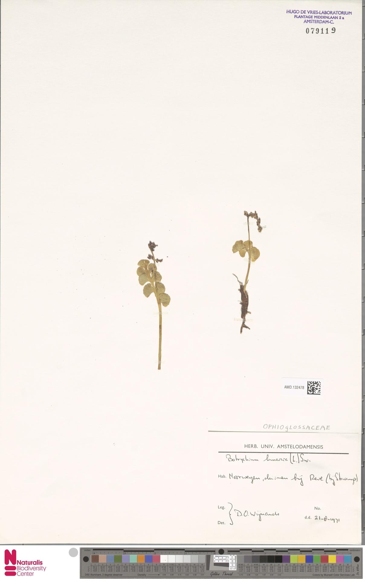 AMD.132478 | Botrychium lunaria (L.) Sw.