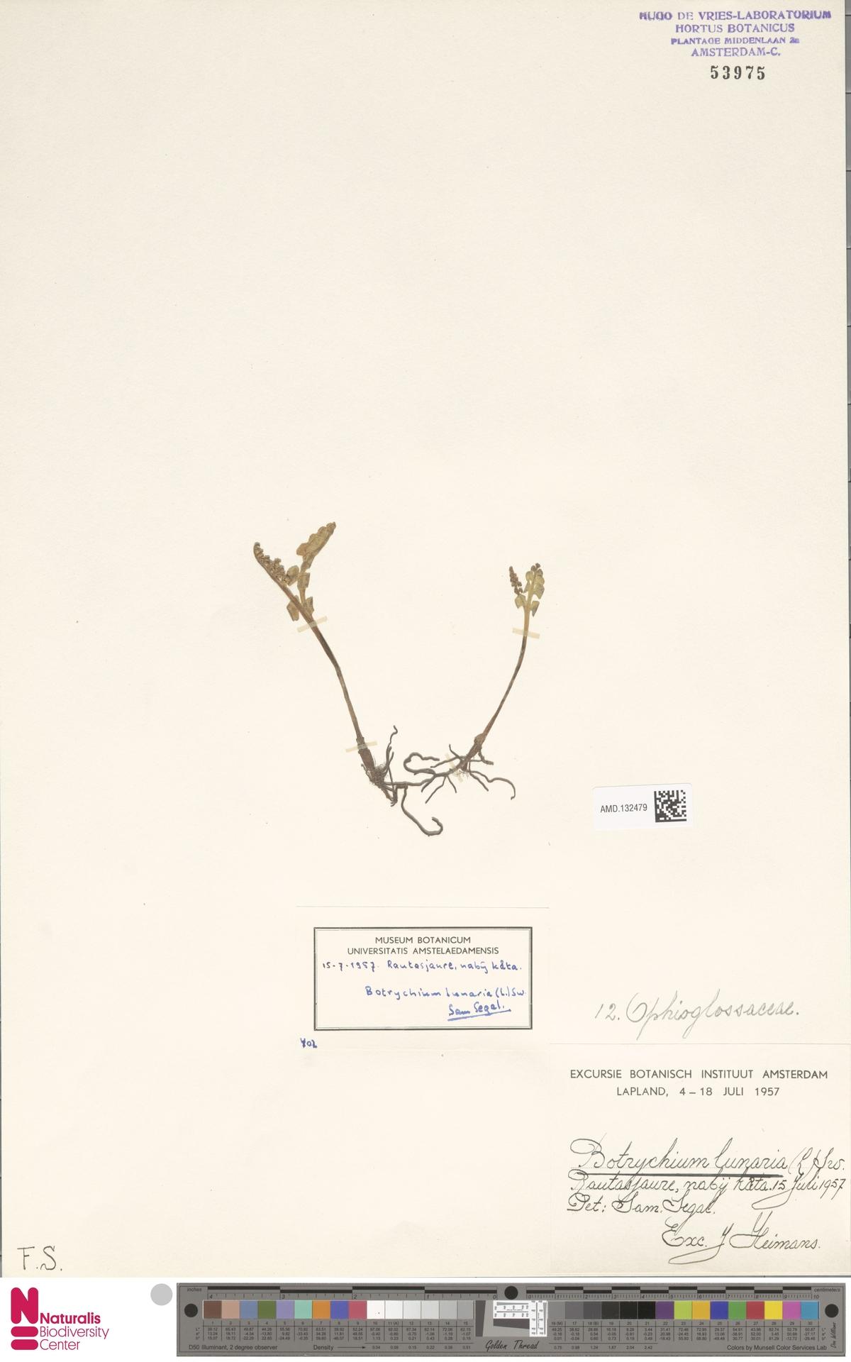 AMD.132479 | Botrychium lunaria (L.) Sw.