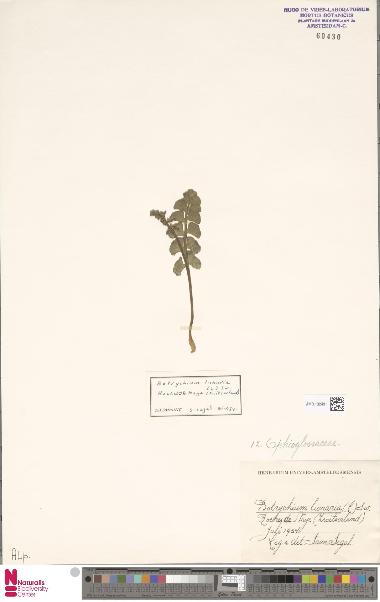 AMD.132491 | Botrychium lunaria (L.) Sw.