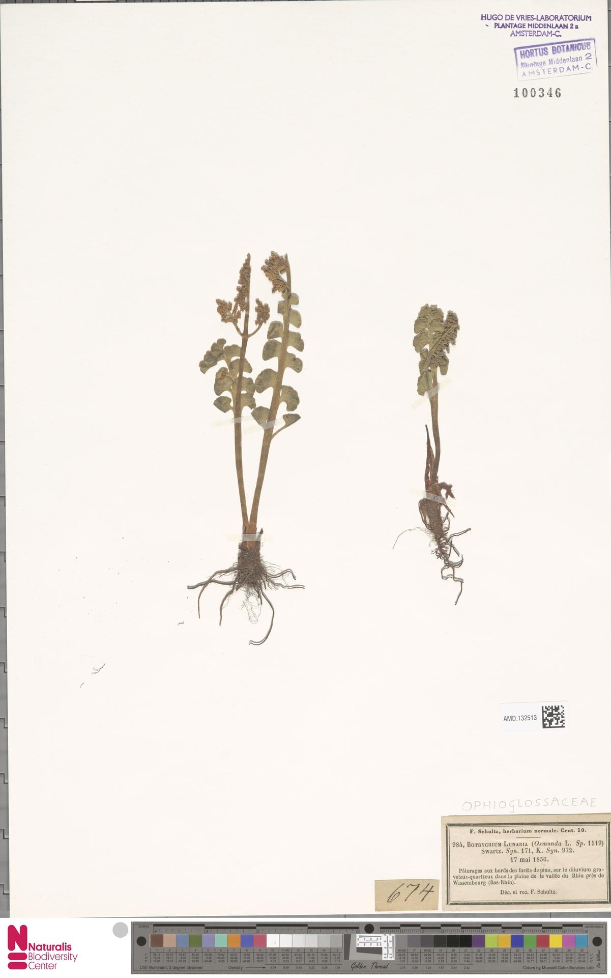 AMD.132513 | Botrychium lunaria (L.) Sw.