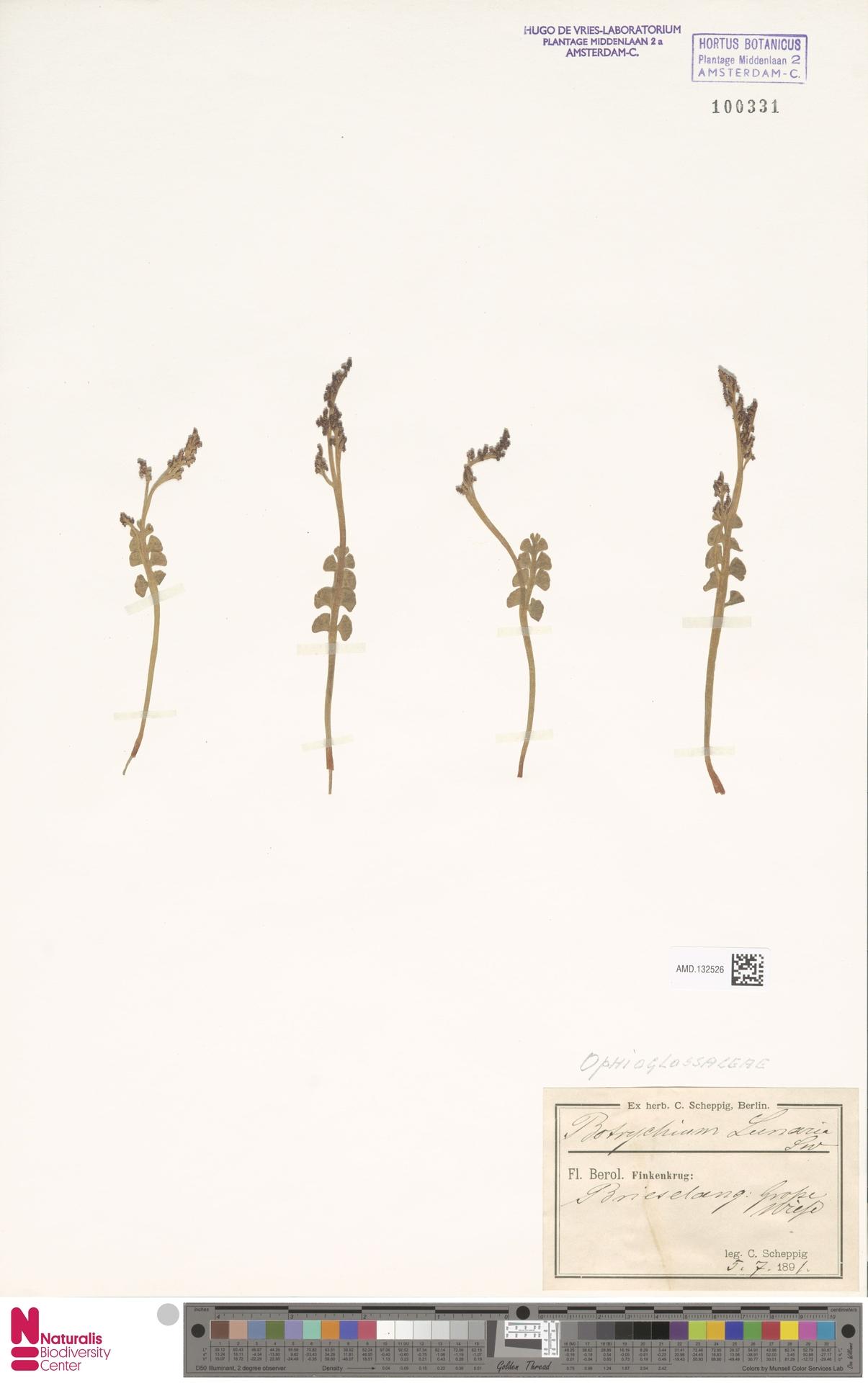 AMD.132526 | Botrychium lunaria (L.) Sw.