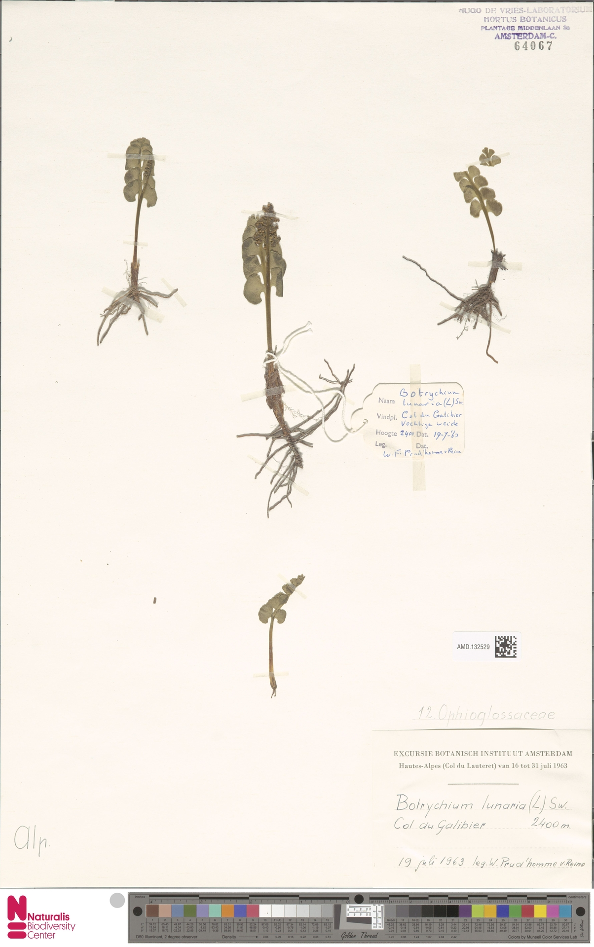 AMD.132529 | Botrychium lunaria (L.) Sw.
