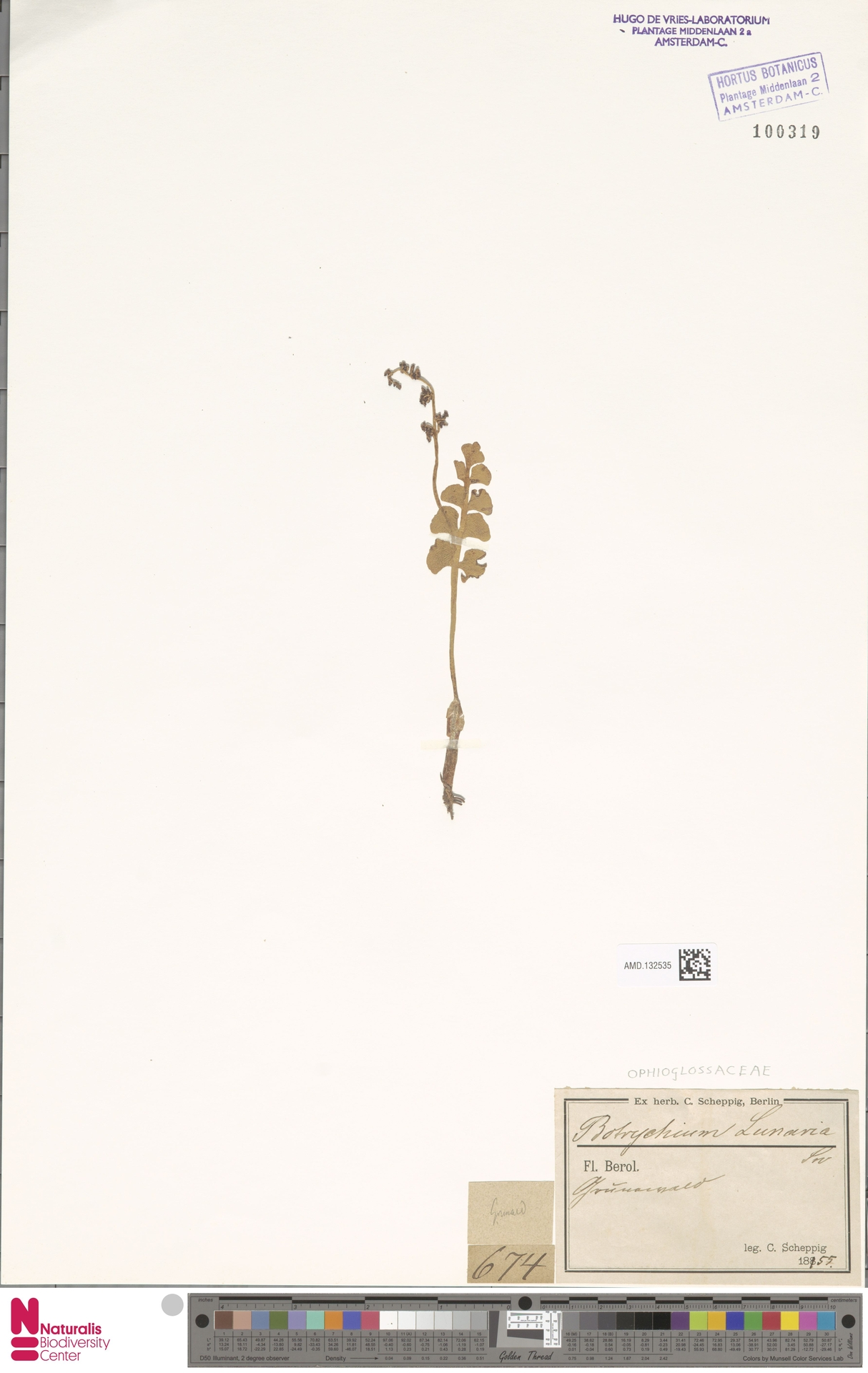 AMD.132535   Botrychium lunaria (L.) Sw.