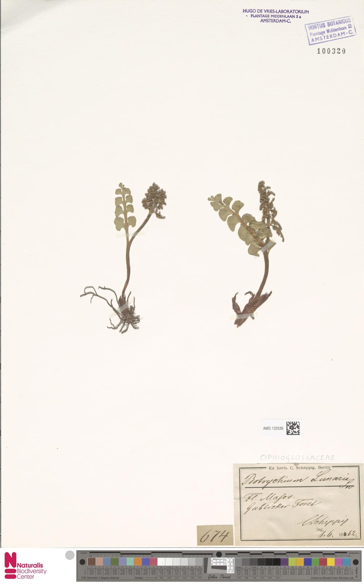 AMD.132536 | Botrychium lunaria (L.) Sw.