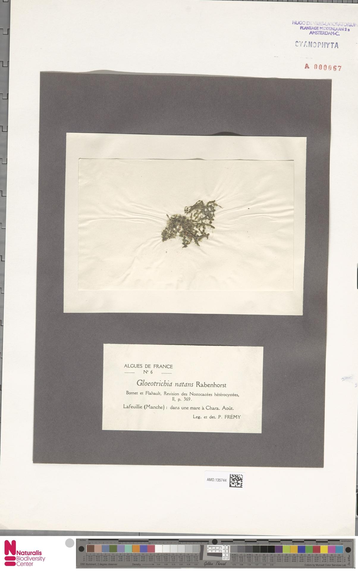 AMD.135744   Gloeotrichia natans (Hedw.) Rabenh. ex Bornet & Flahault