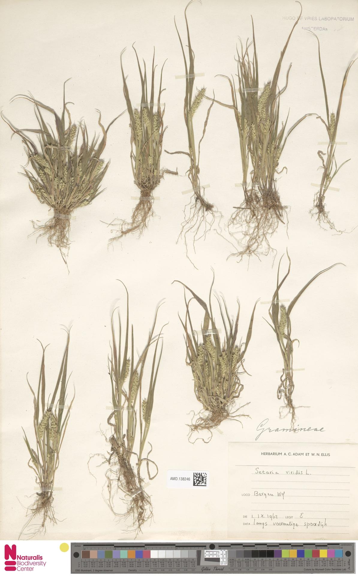 AMD.138246 | Setaria viridis (L.) P.Beauv.