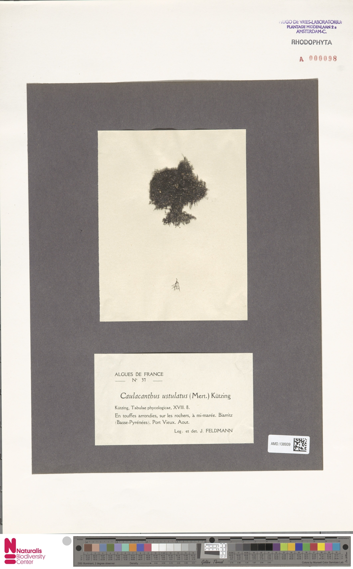 AMD.138939 | Caulacanthus ustulatus (Mert.) Kütz.
