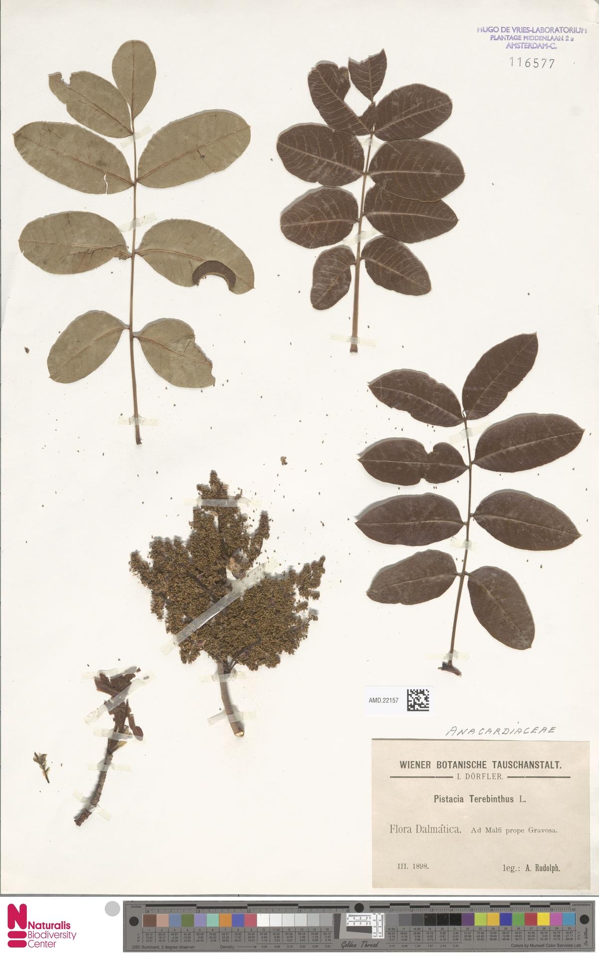 AMD.22157 | Pistacia terebinthus L.