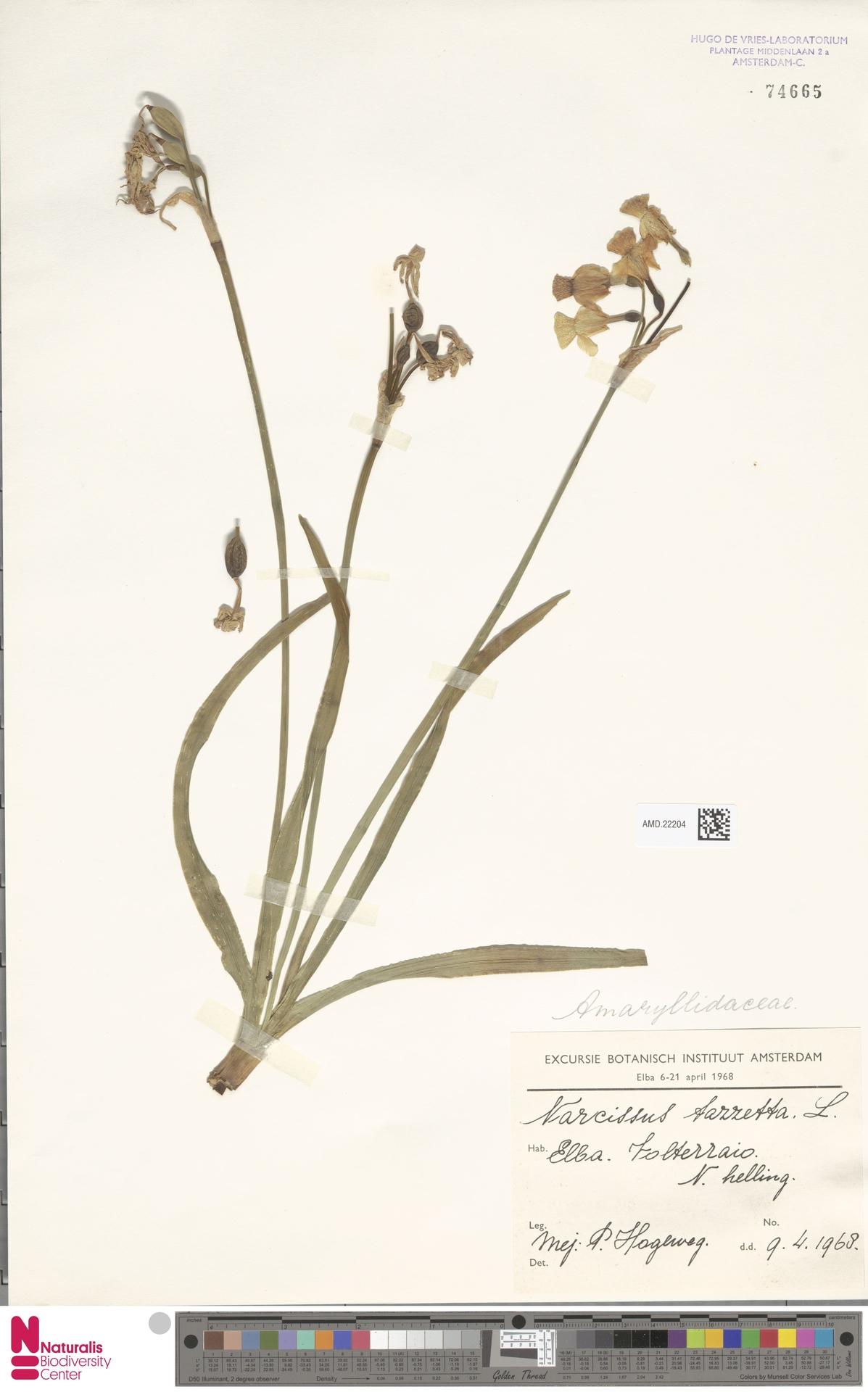AMD.22204 | Narcissus tazetta L.