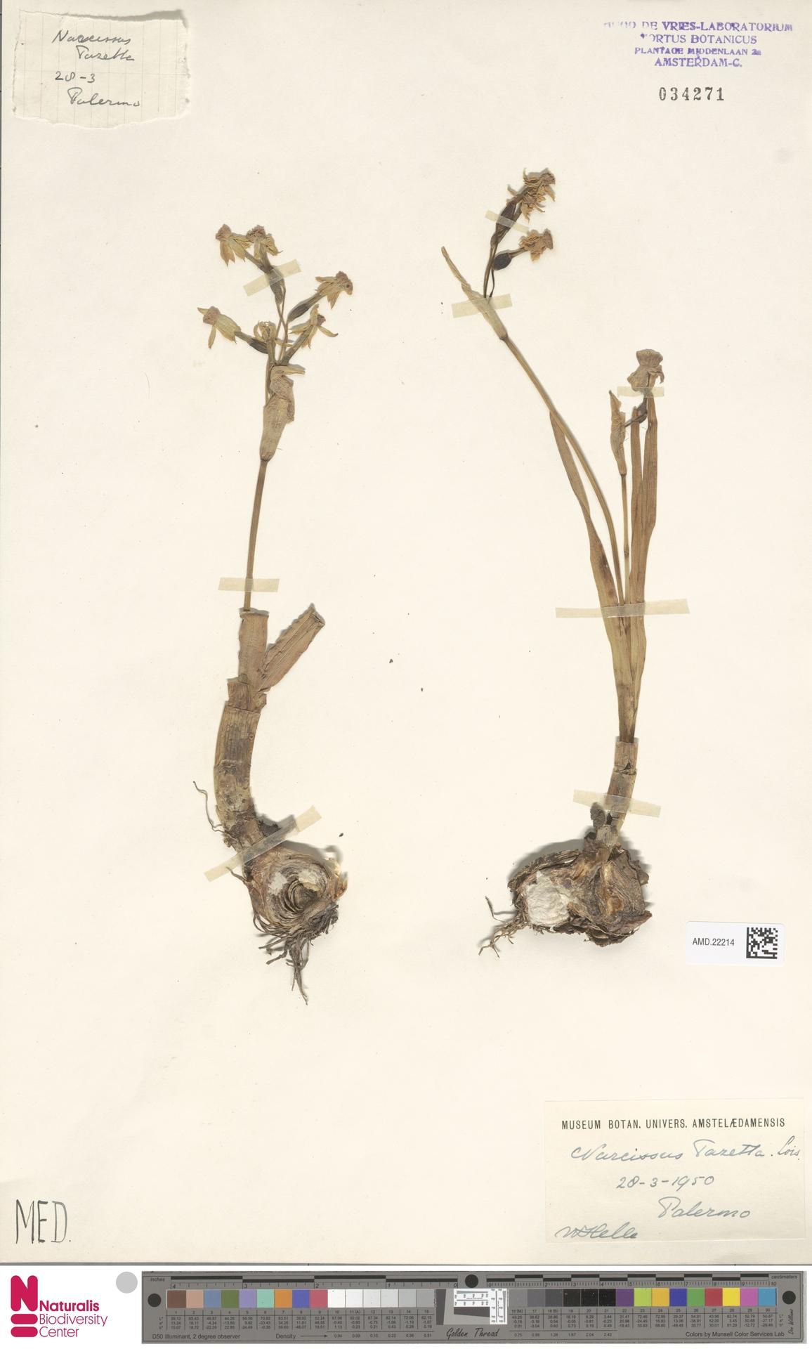 AMD.22214 | Narcissus tazetta L.