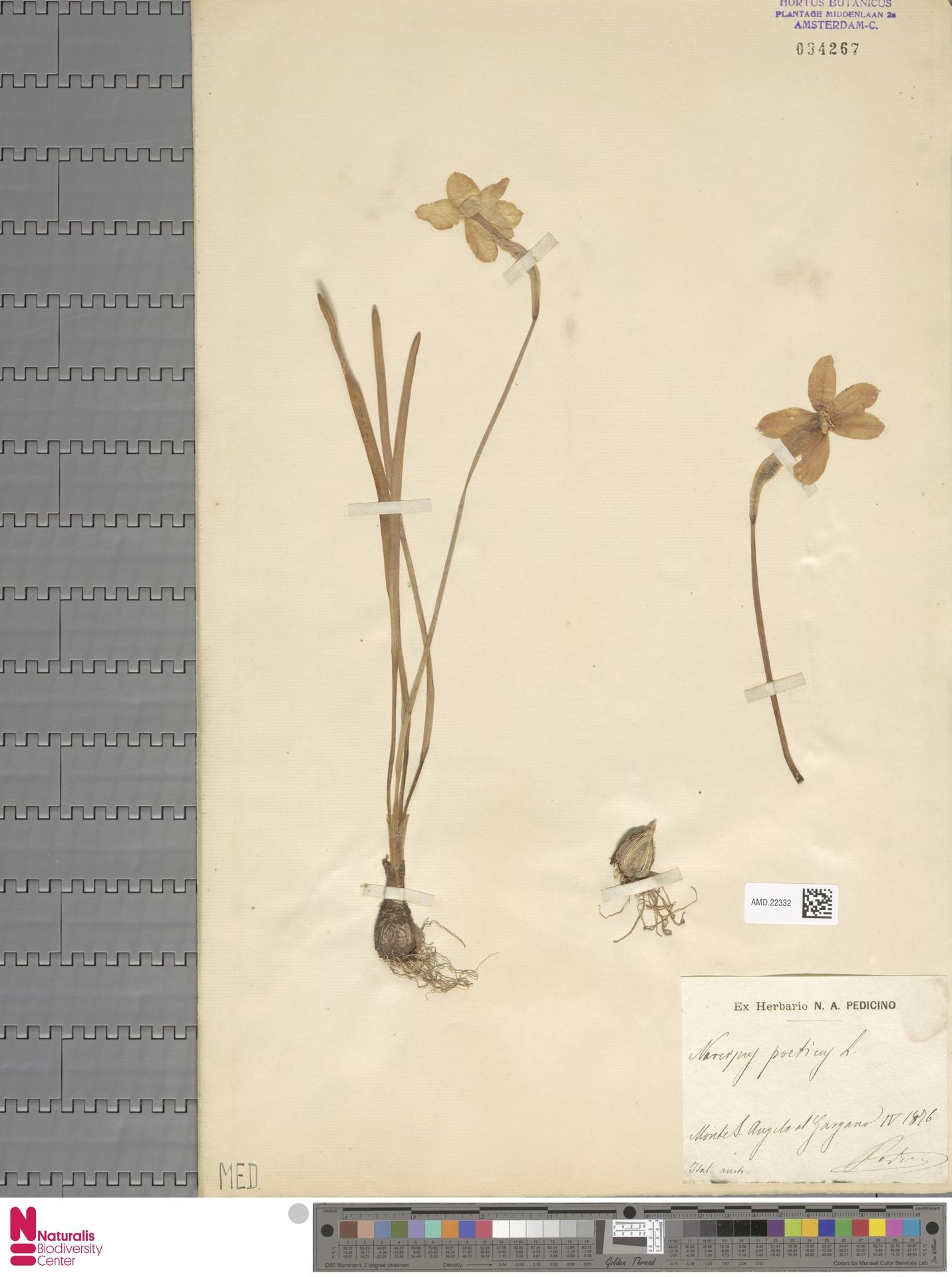 AMD.22332 | Narcissus poeticus L.