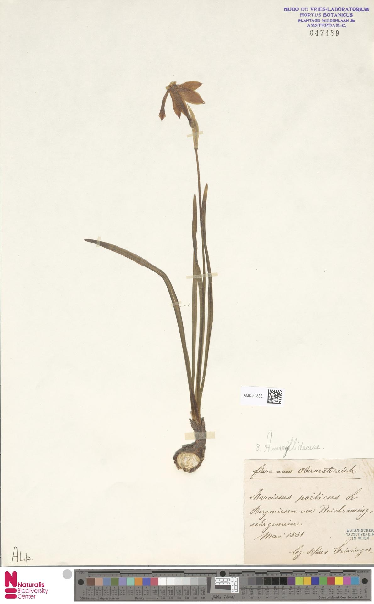 AMD.22333 | Narcissus poeticus L.
