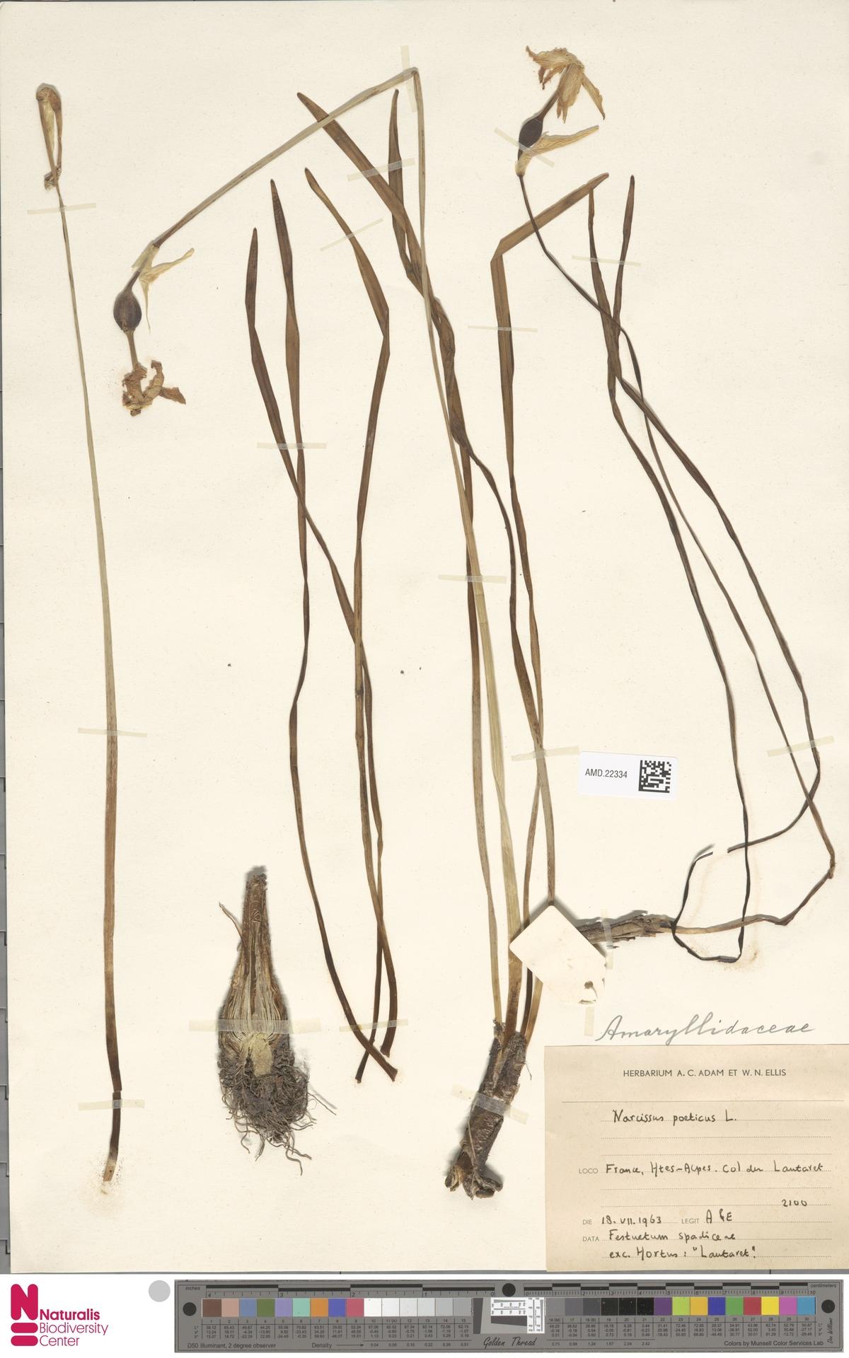 AMD.22334 | Narcissus poeticus L.