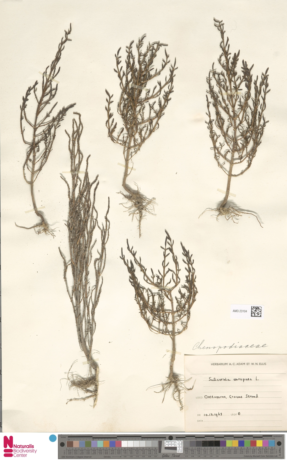 AMD.23104   Salicornia europaea L.