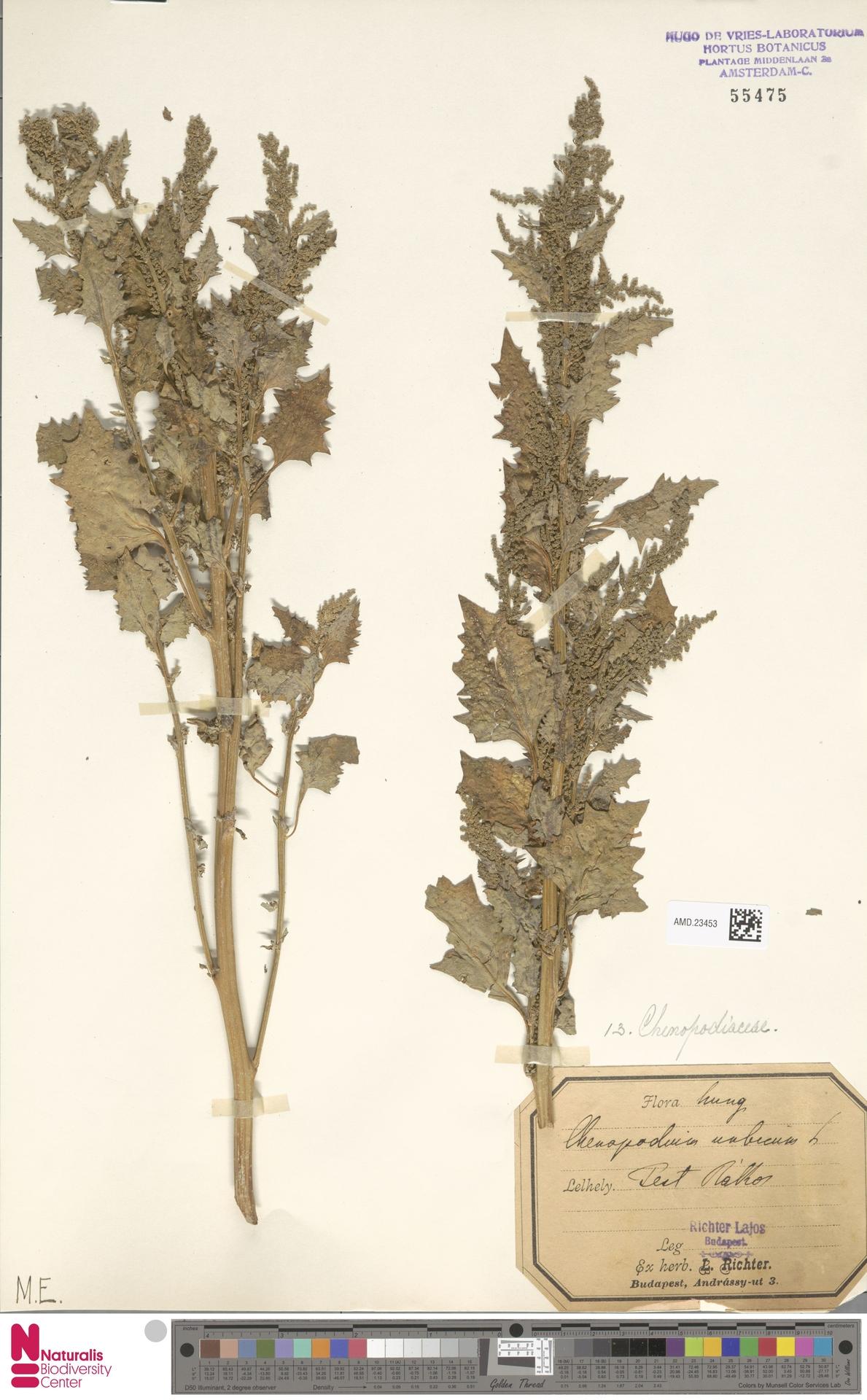 AMD.23453 | Chenopodium urbicum L.