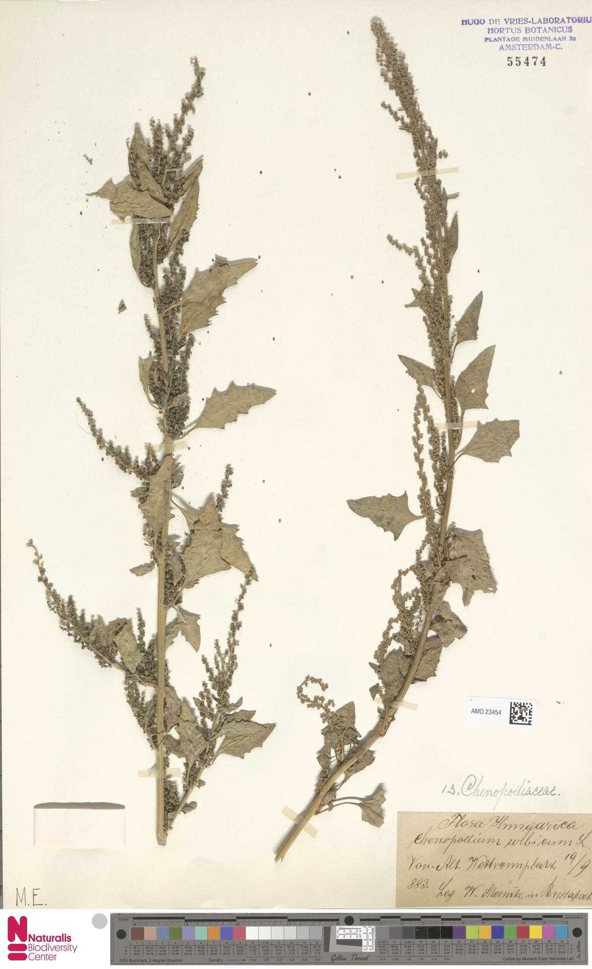 AMD.23454   Chenopodium urbicum L.