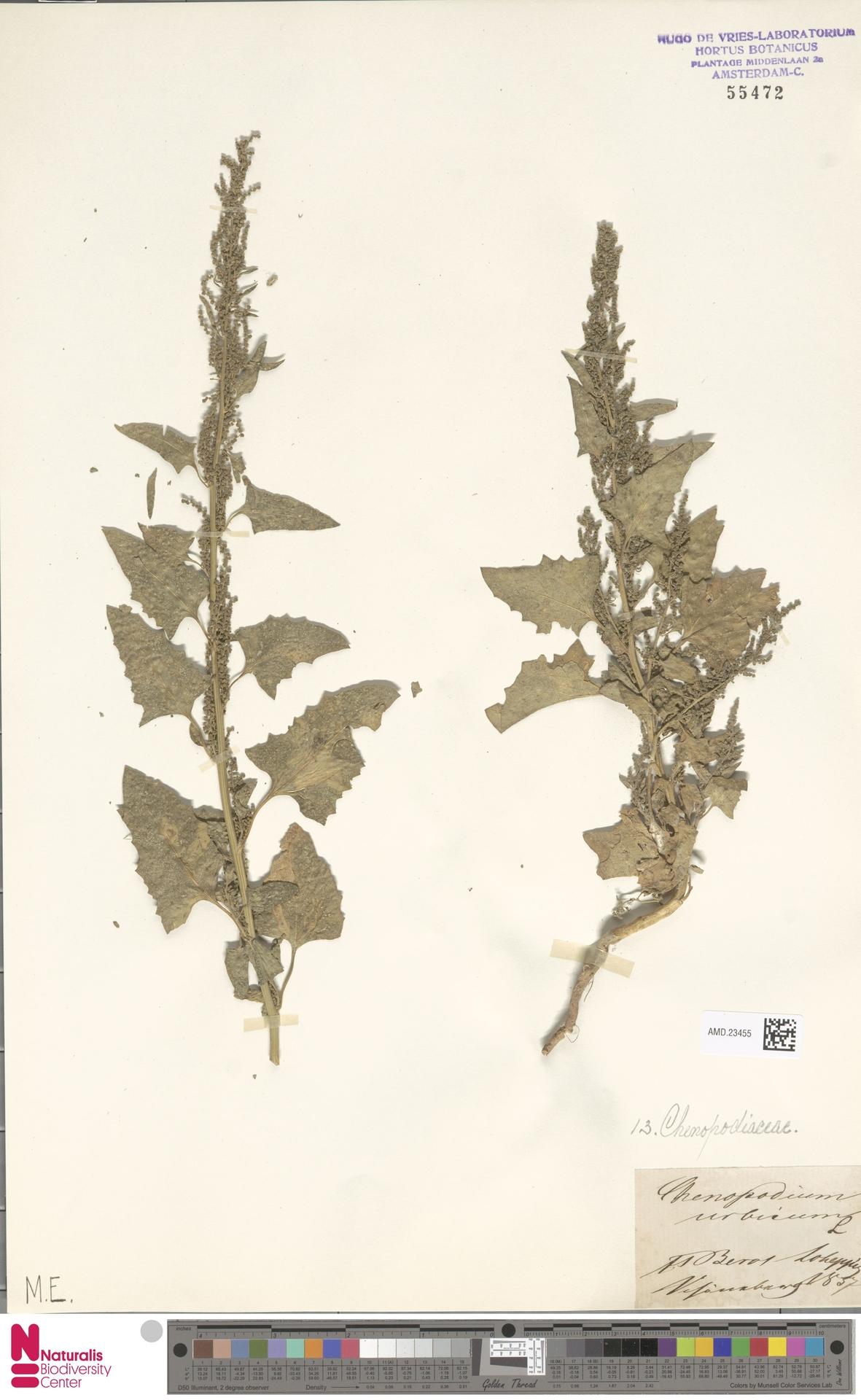 AMD.23455 | Chenopodium urbicum L.