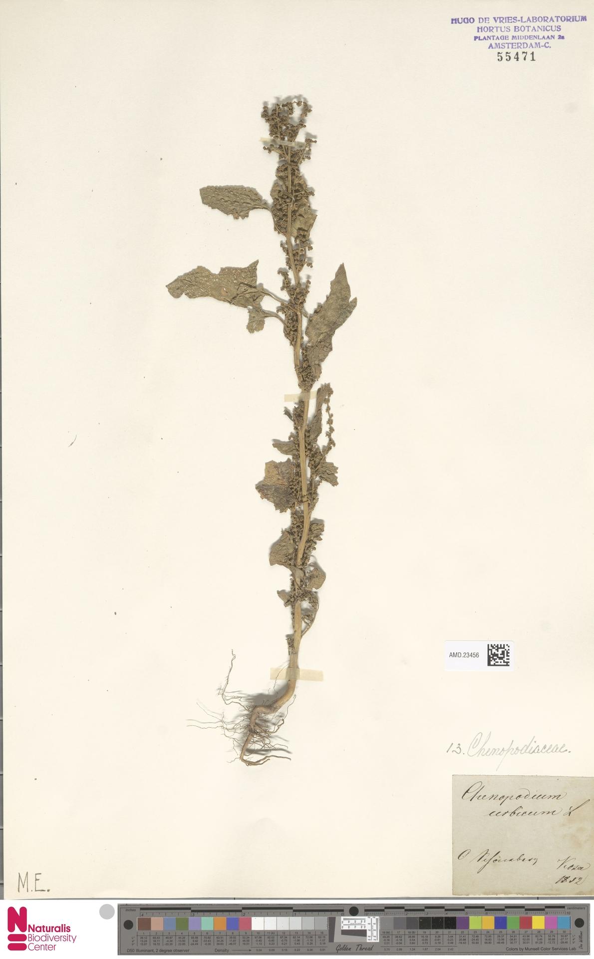 AMD.23456 | Chenopodium urbicum L.