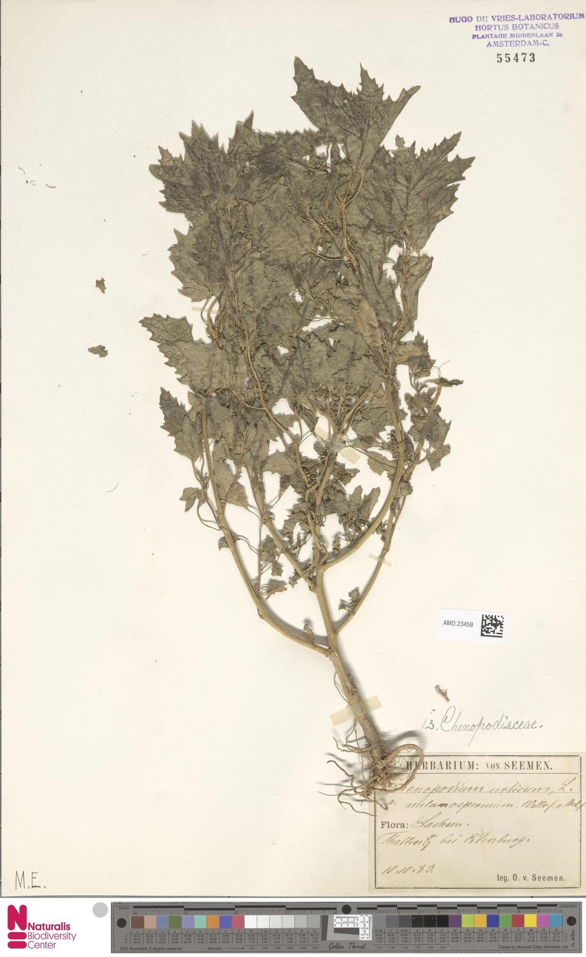 AMD.23459 | Chenopodium urbicum var. melanospermum Asch.