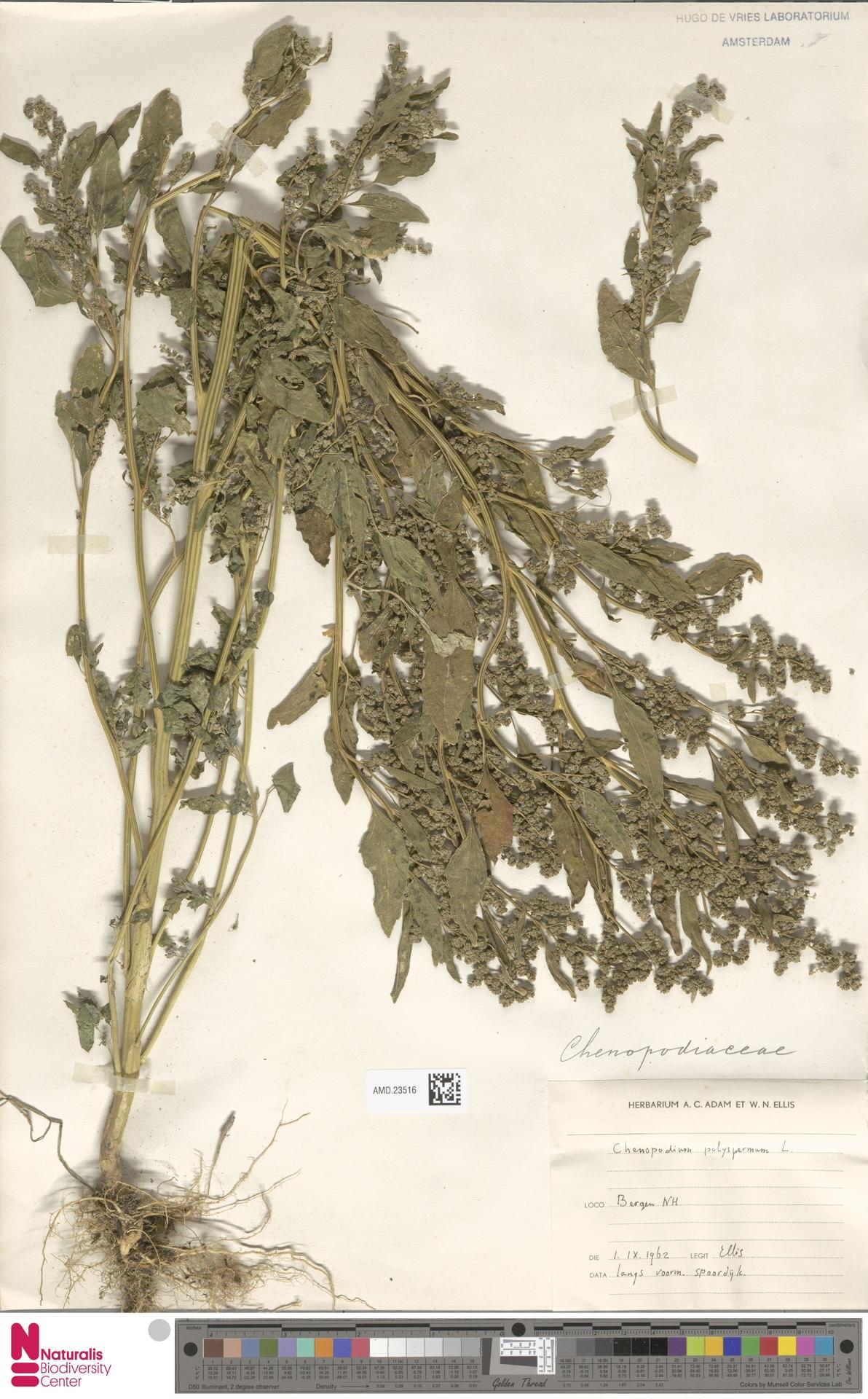 AMD.23516 | Chenopodium polyspermum L.
