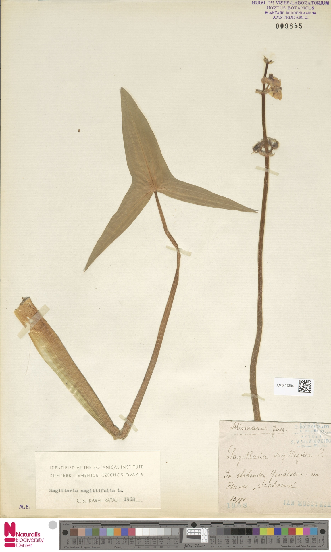 AMD.24304 | Sagittaria sagittifolia L.