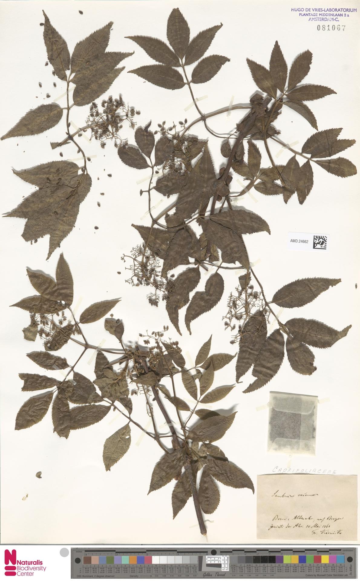 AMD.24662 | Sambucus racemosa L.