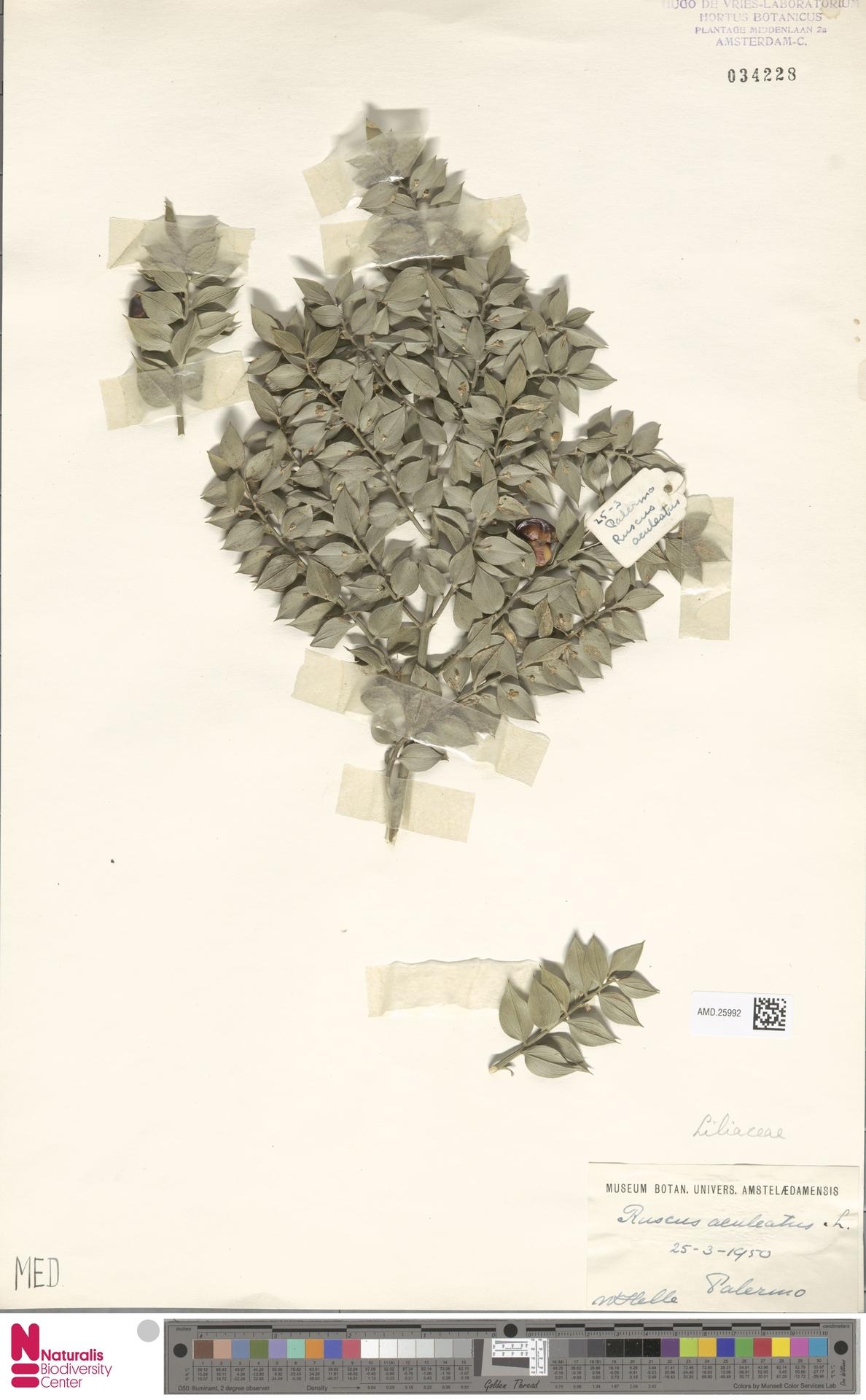 AMD.25992 | Ruscus aculeatus L.