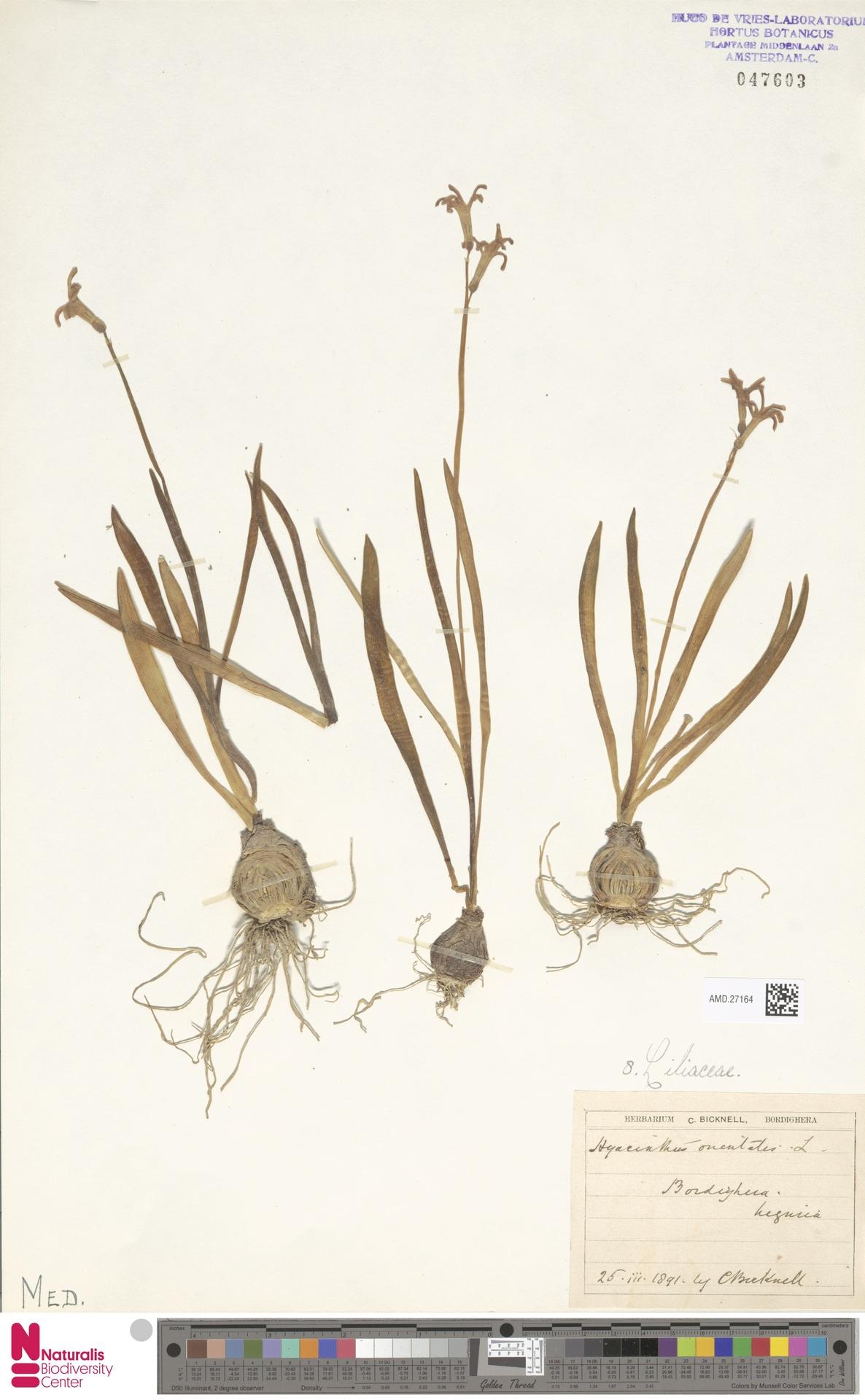 AMD.27164 | Hyacinthus orientalis L.