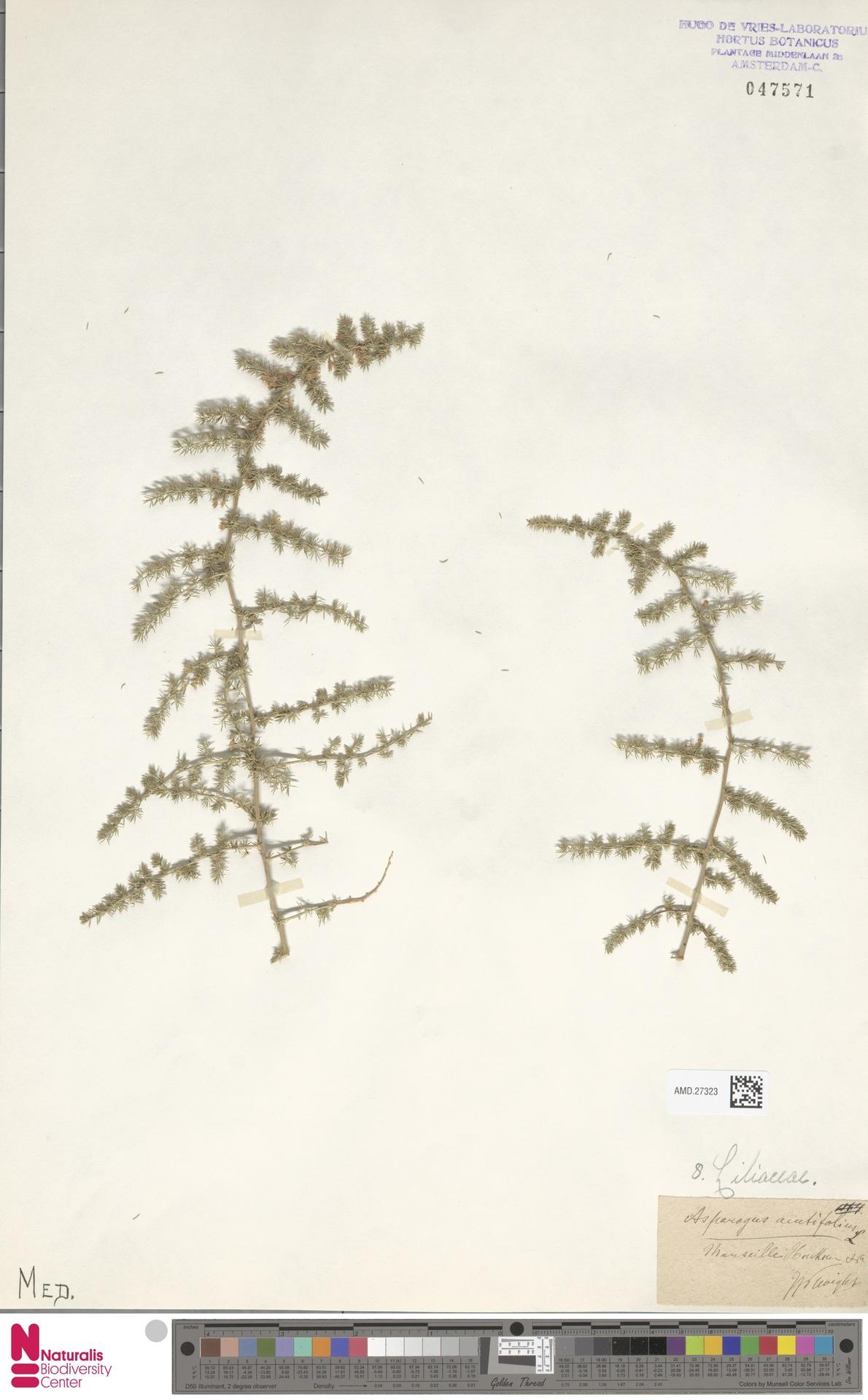 AMD.27323 | Asparagus acutifolius L.