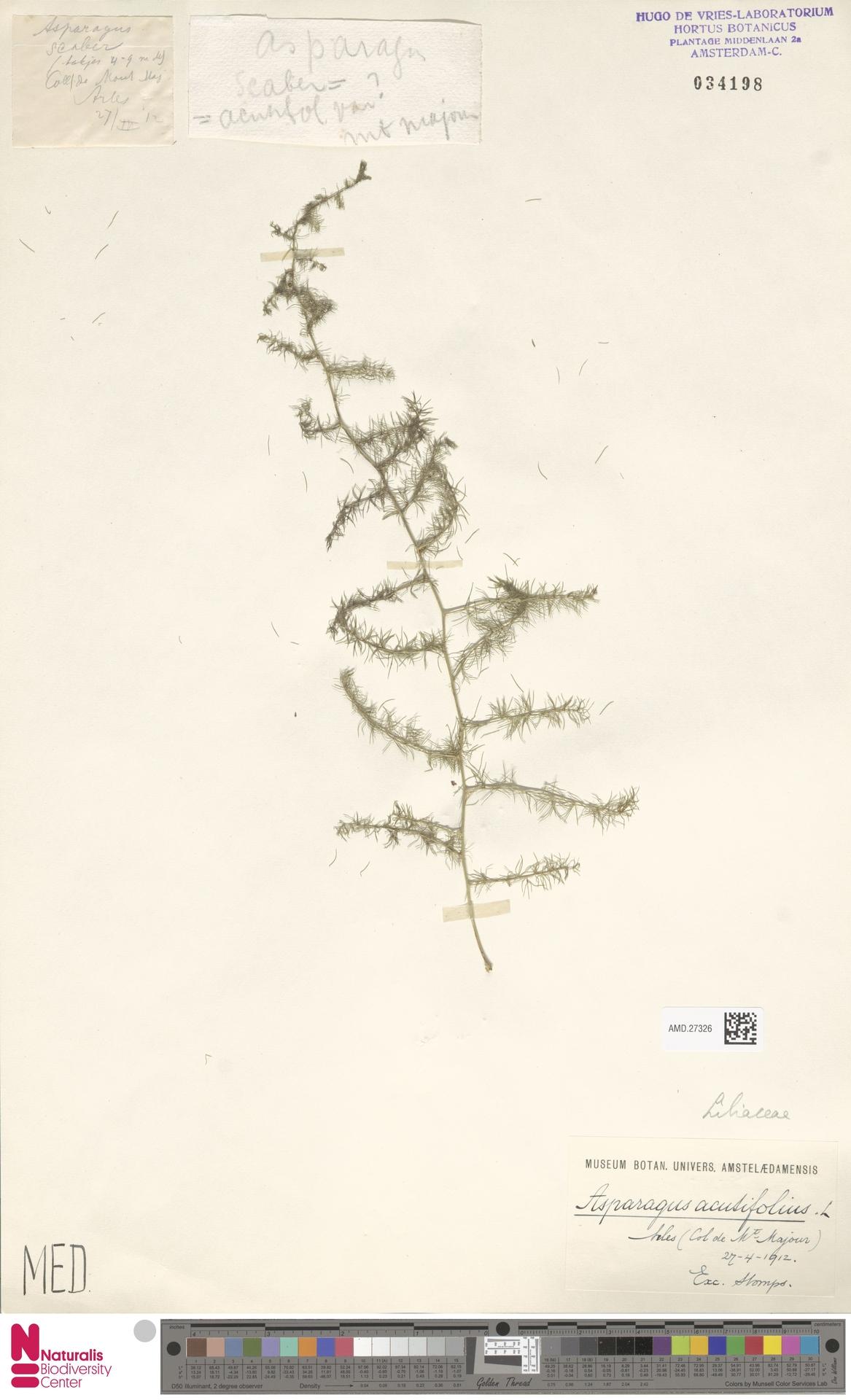 AMD.27326 | Asparagus acutifolius L.