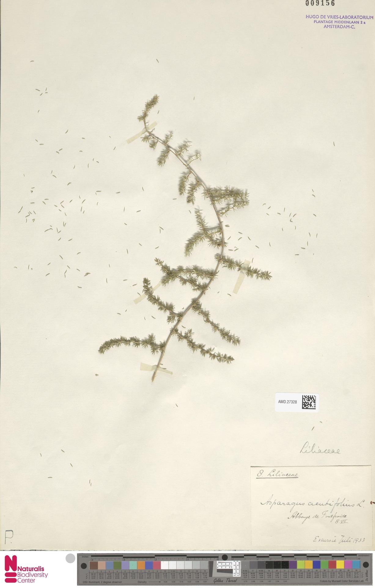 AMD.27328 | Asparagus acutifolius L.