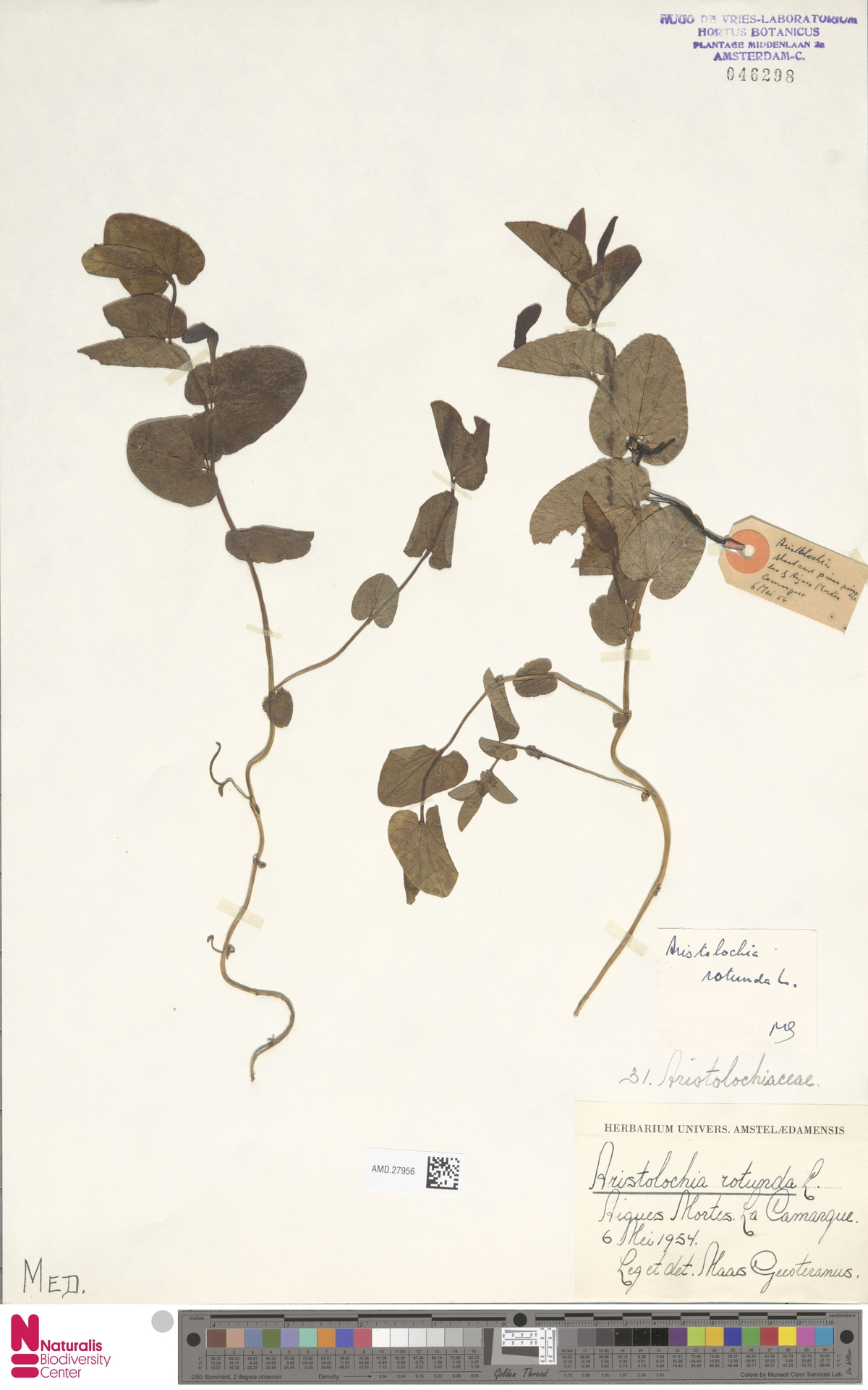 AMD.27956 | Aristolochia rotunda L.