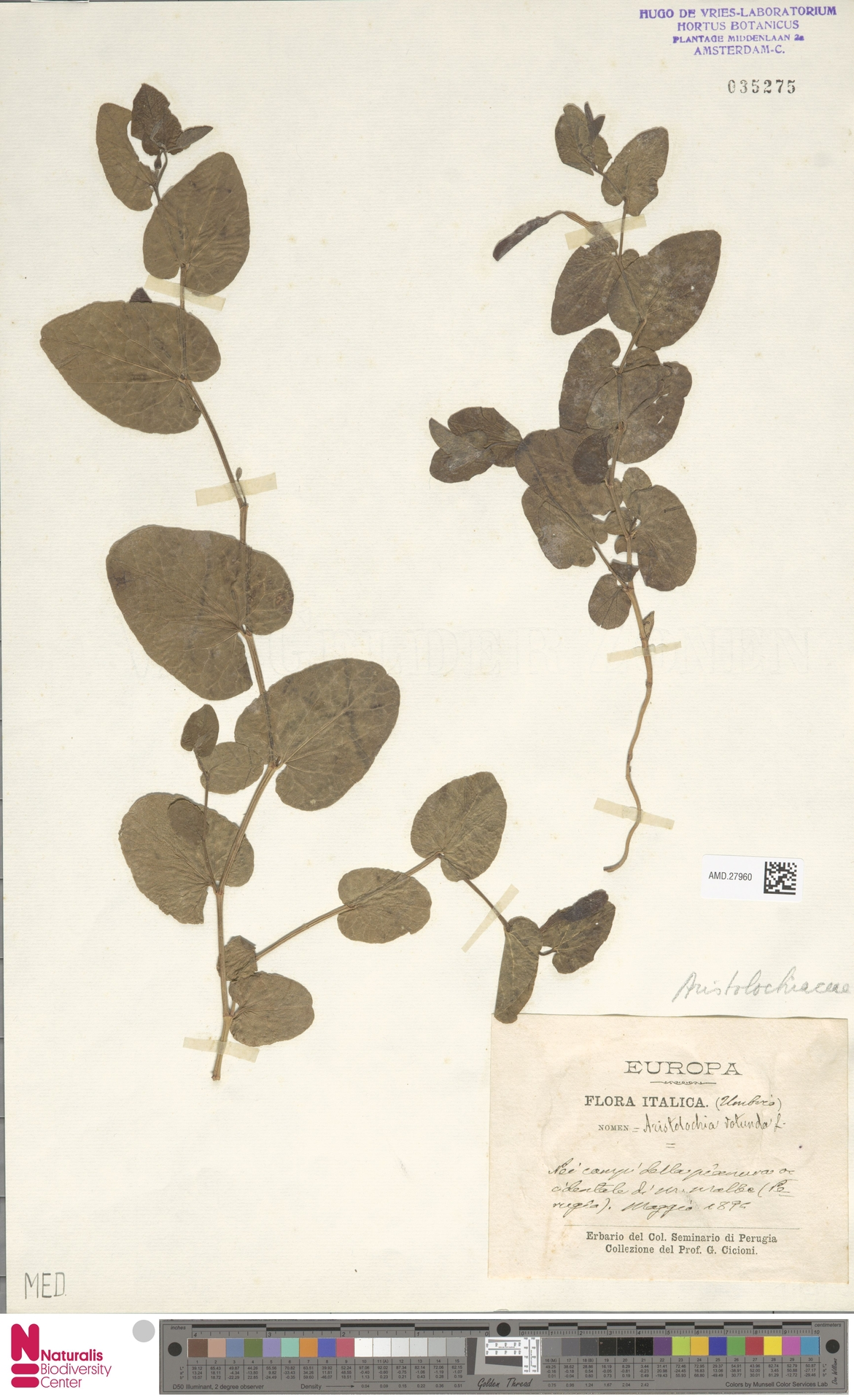 AMD.27960 | Aristolochia rotunda L.